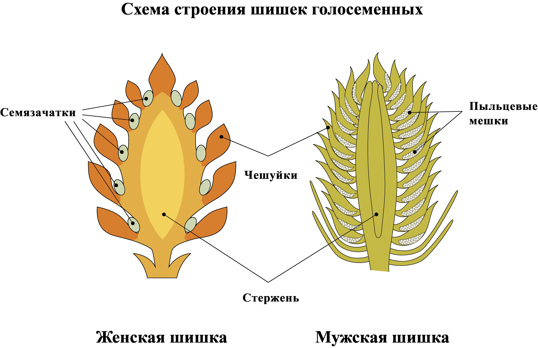 Схема строения шишек голосеменных