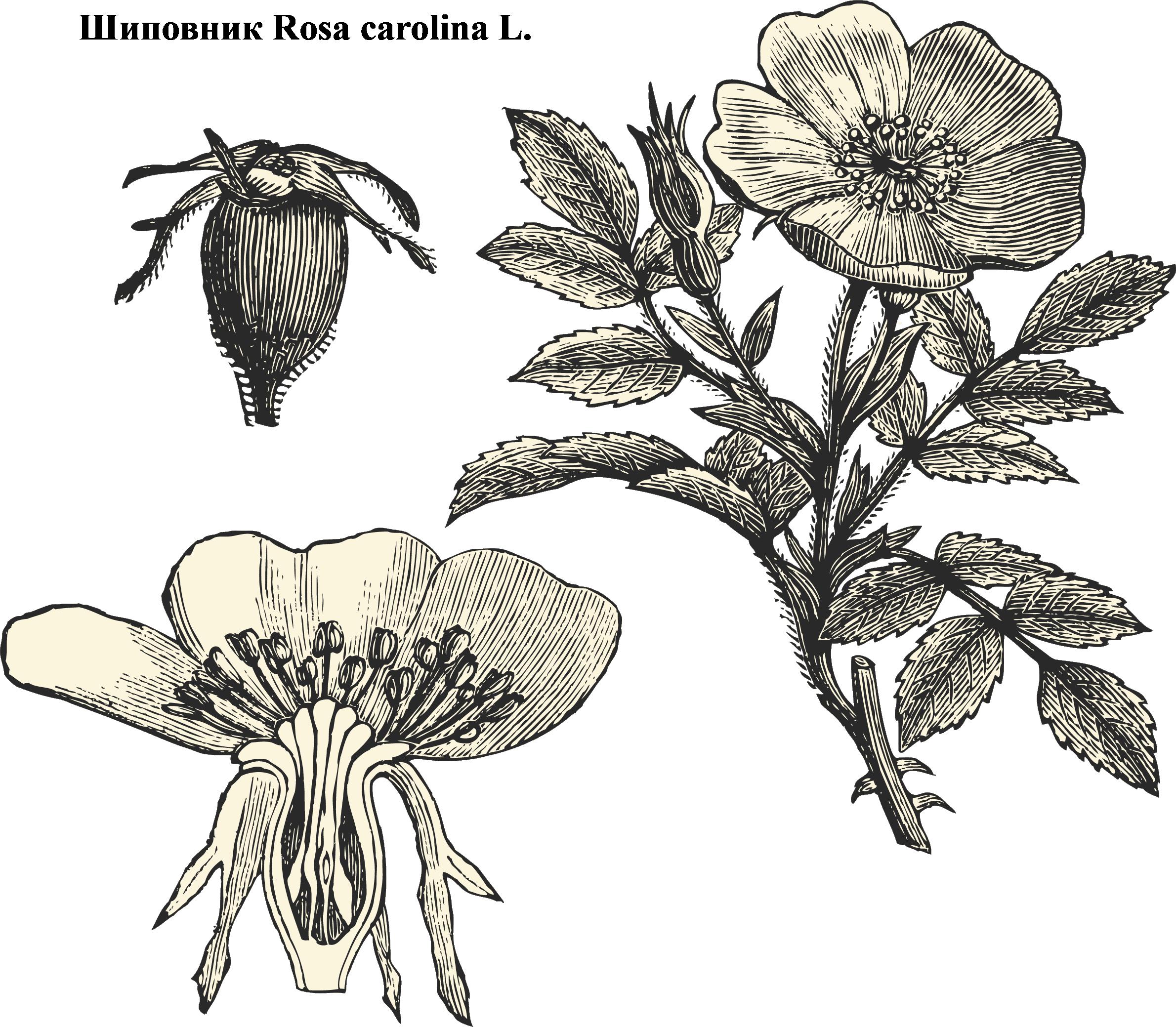 Один из видов шиповника-  имеет все признаки семейства розоцветных