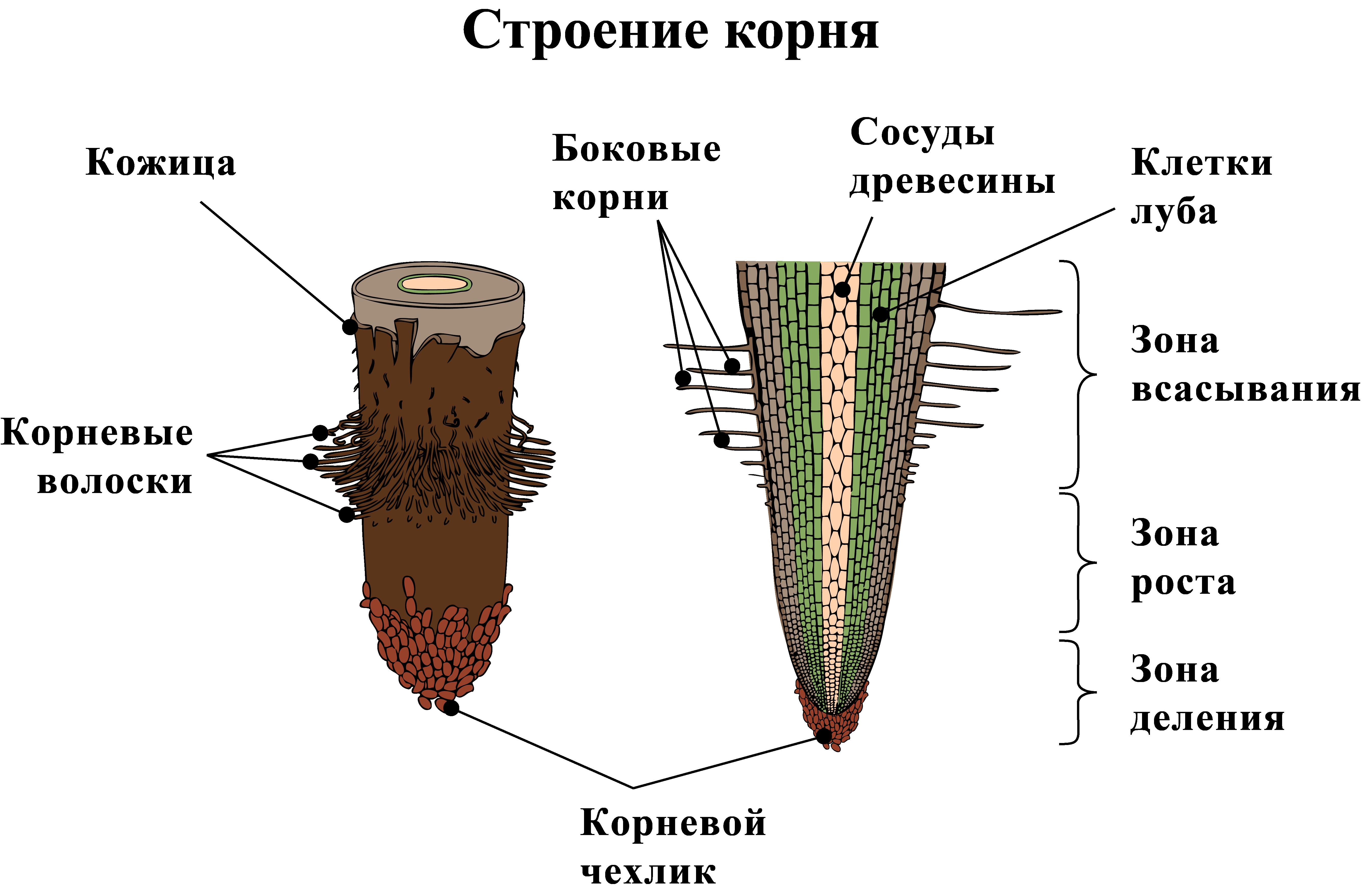 корневые волоски