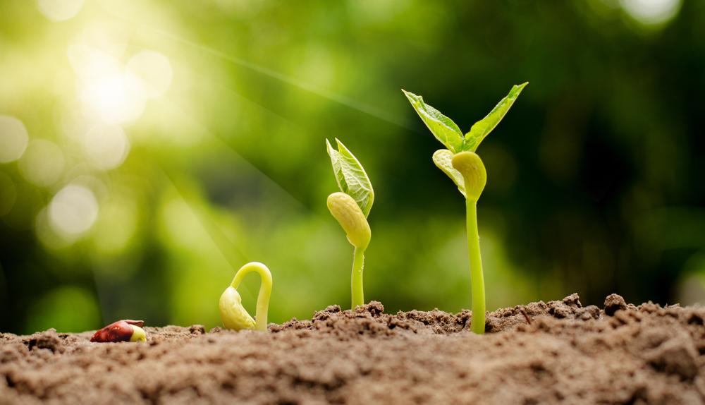 прорастание двудольных растений