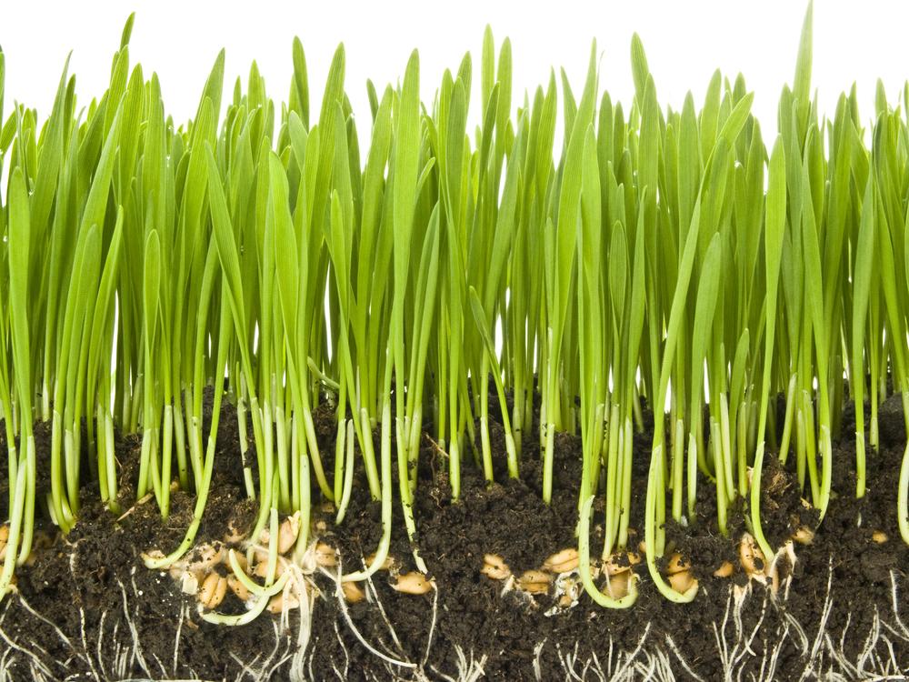 прорастание зерен пшеницы