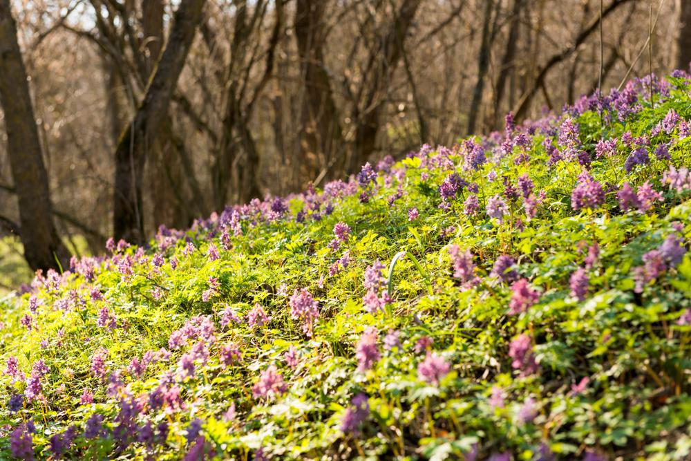 Цветение хохлатки в лесу