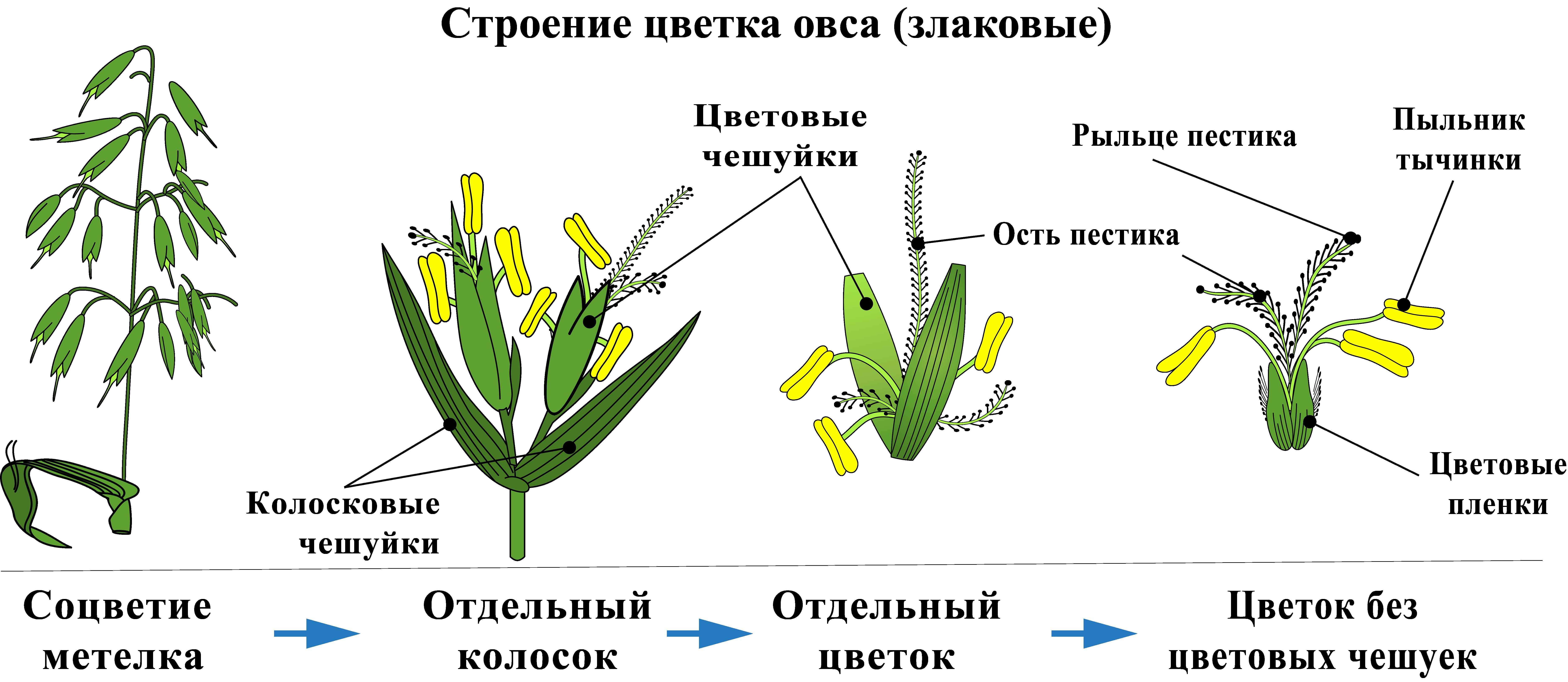Строение цветка овса