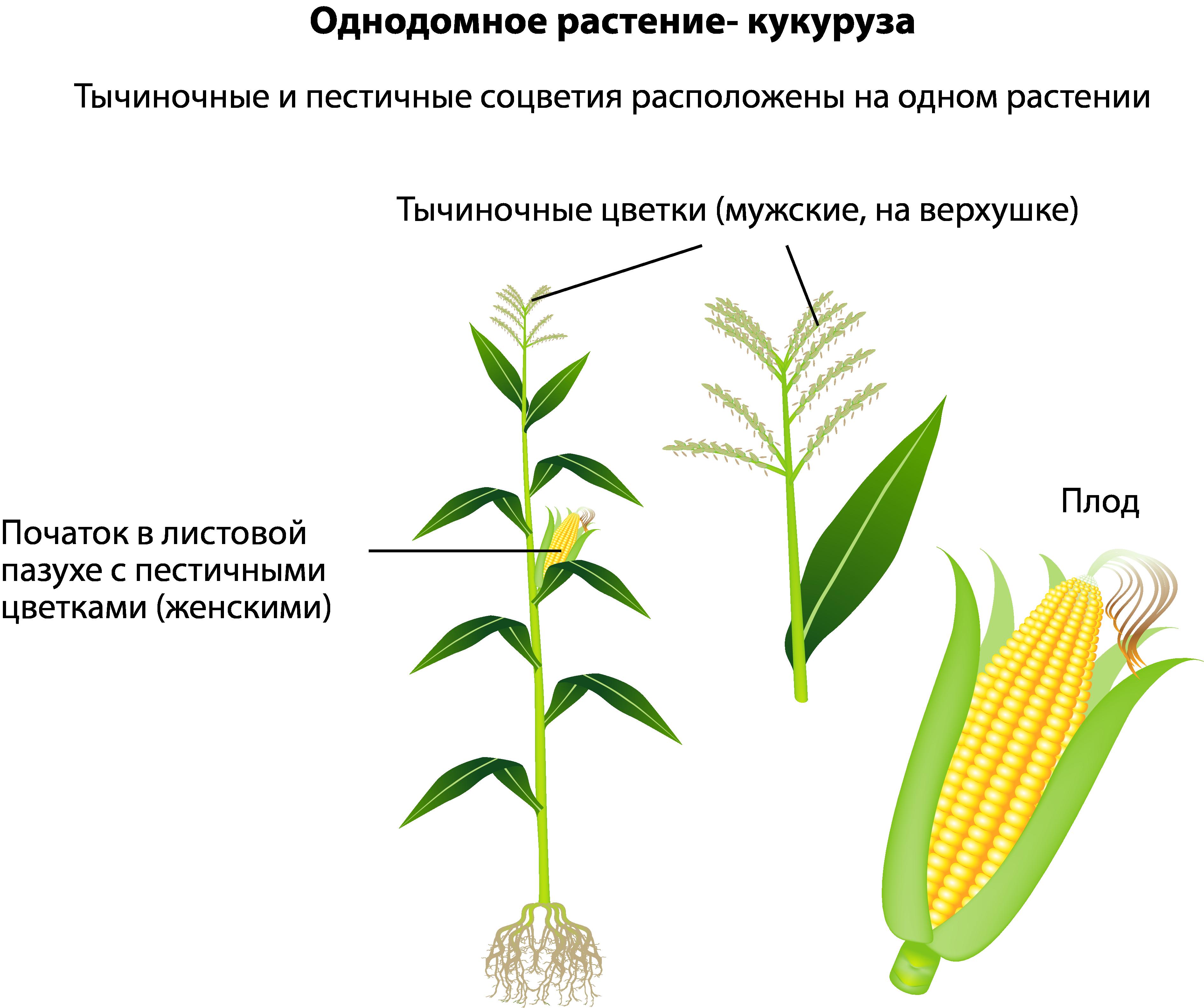 Однодомное растение кукуруза