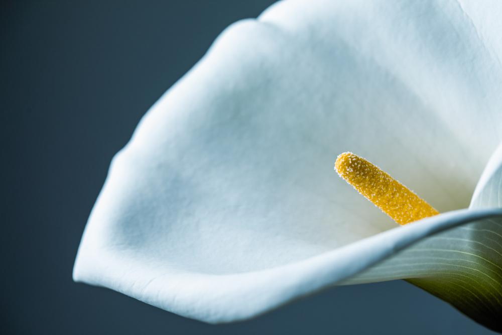 цветок каллы