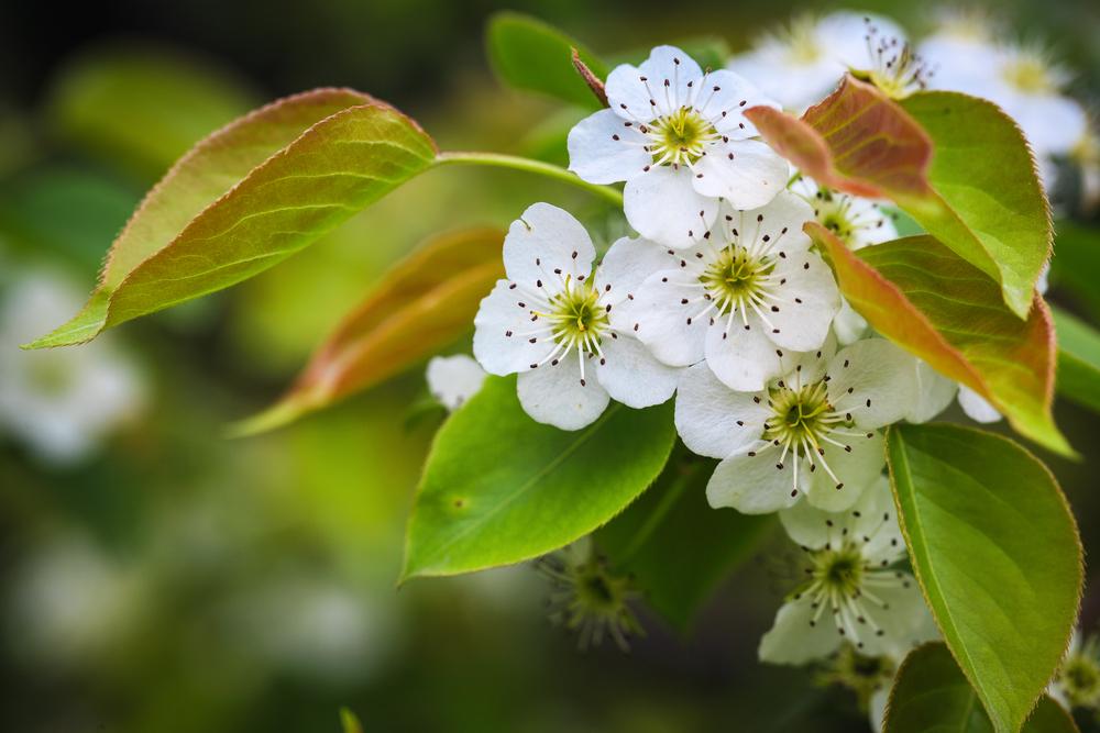 Цветок груши