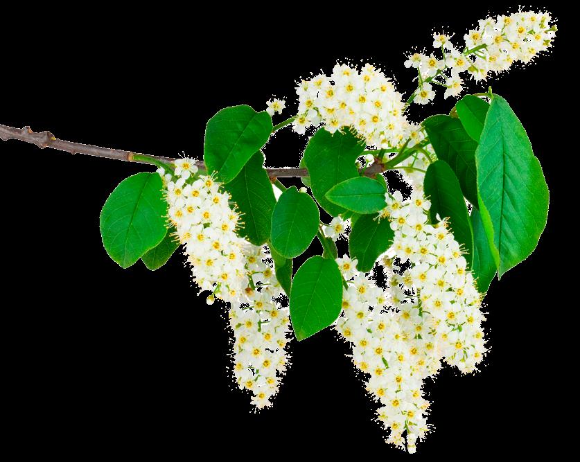 цветок черемухи
