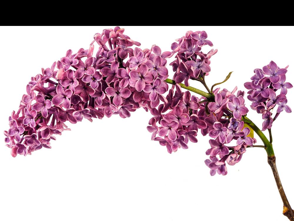 сирень