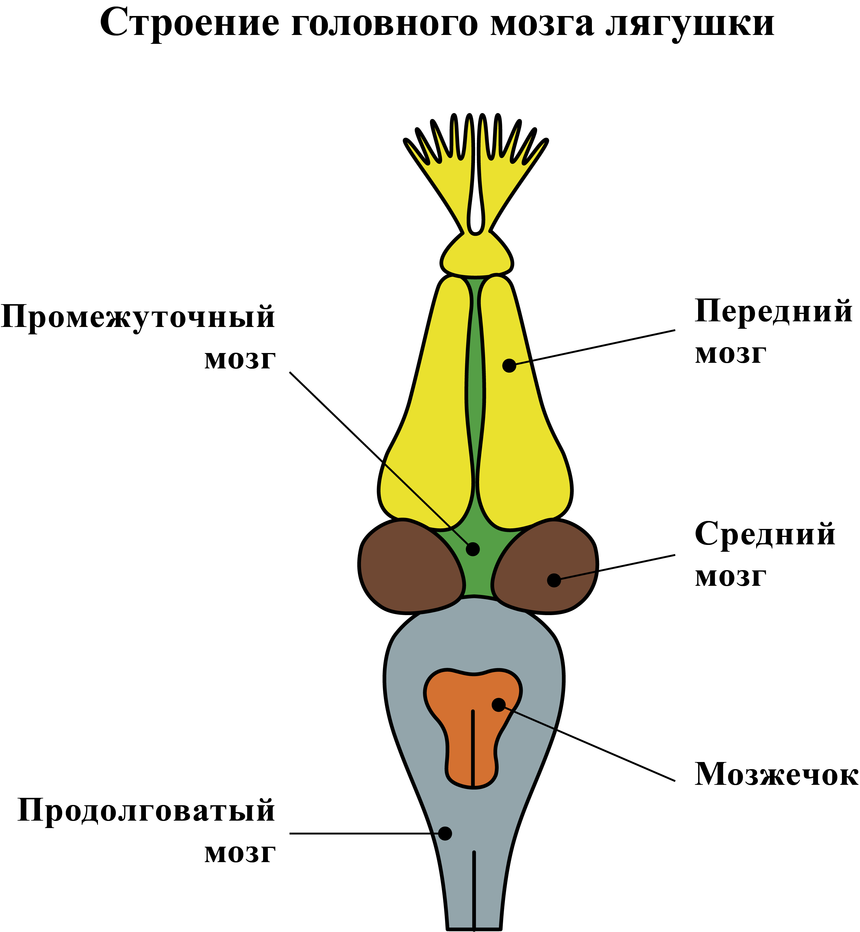 Нервная система лягушки