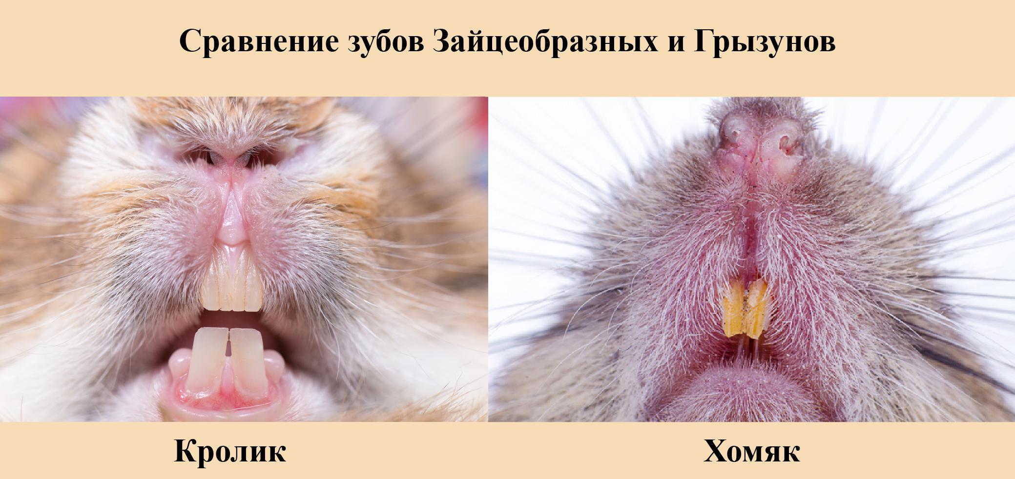Зубы, как и у грызунов, растут всю жизнь!