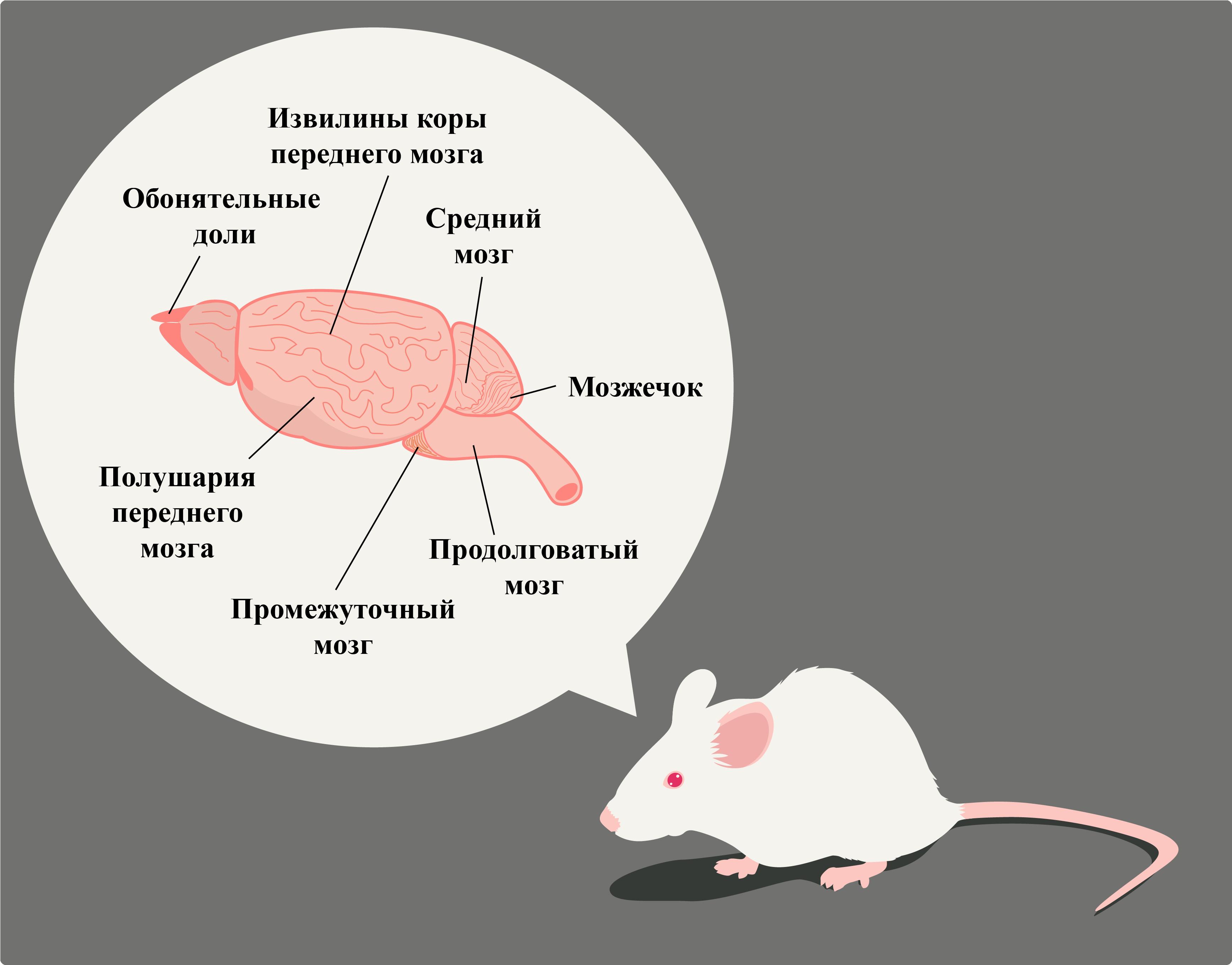 Строение мозга мыши