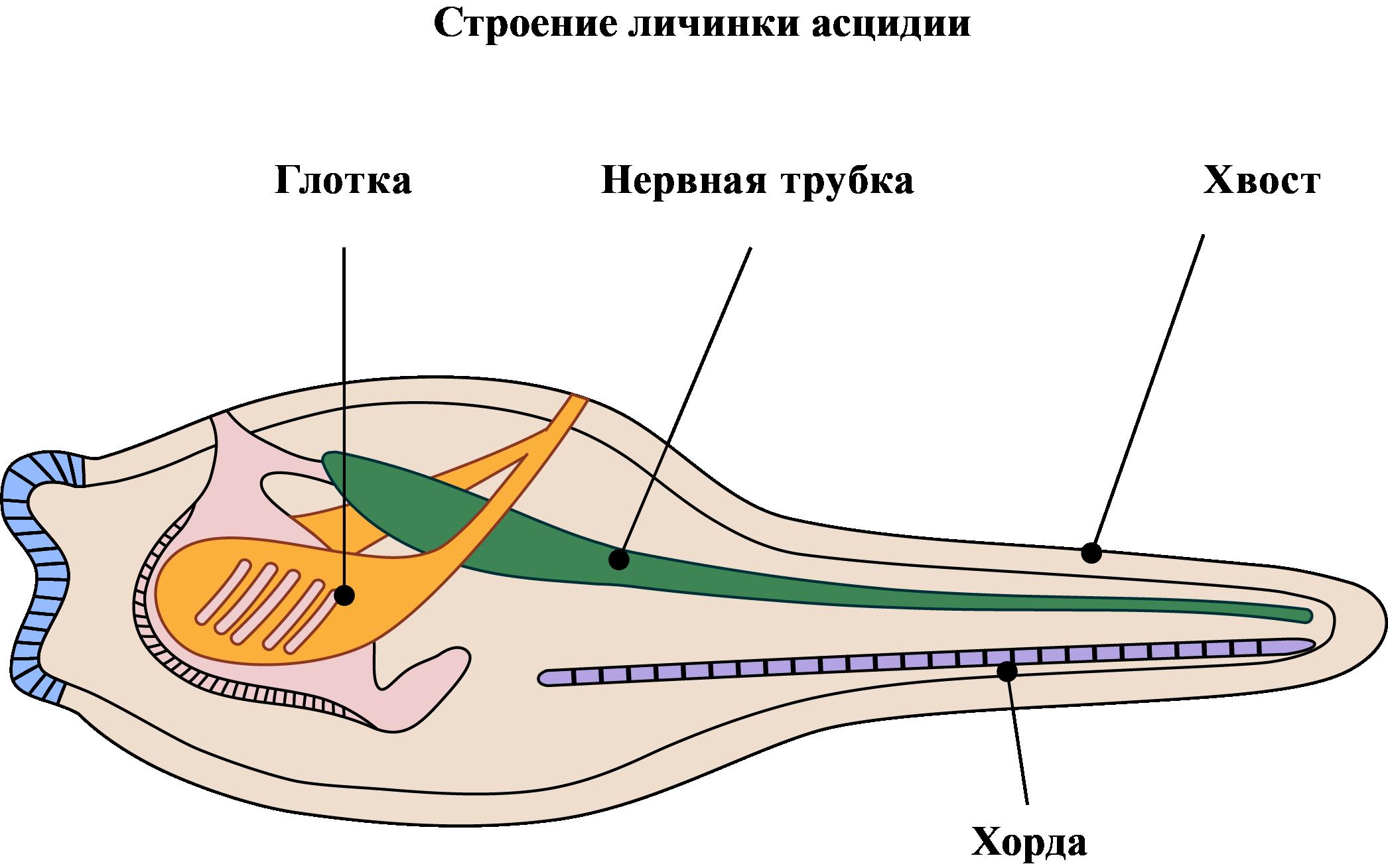 внутренне строение личинки асцидии