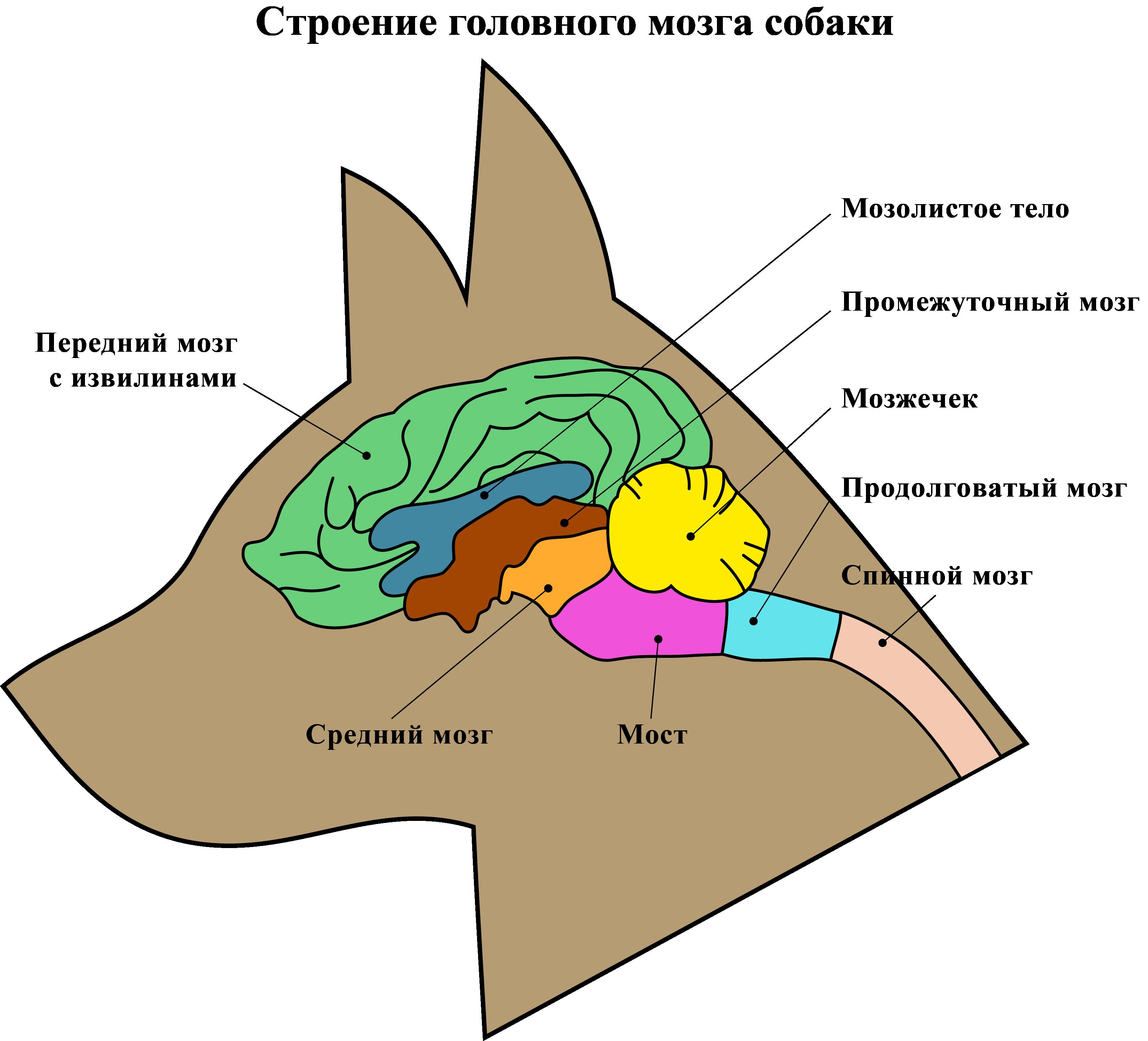 Мозг собаки
