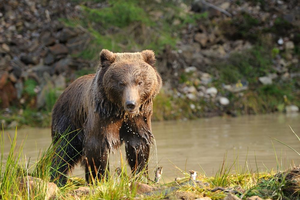 Семейство Медвежьих