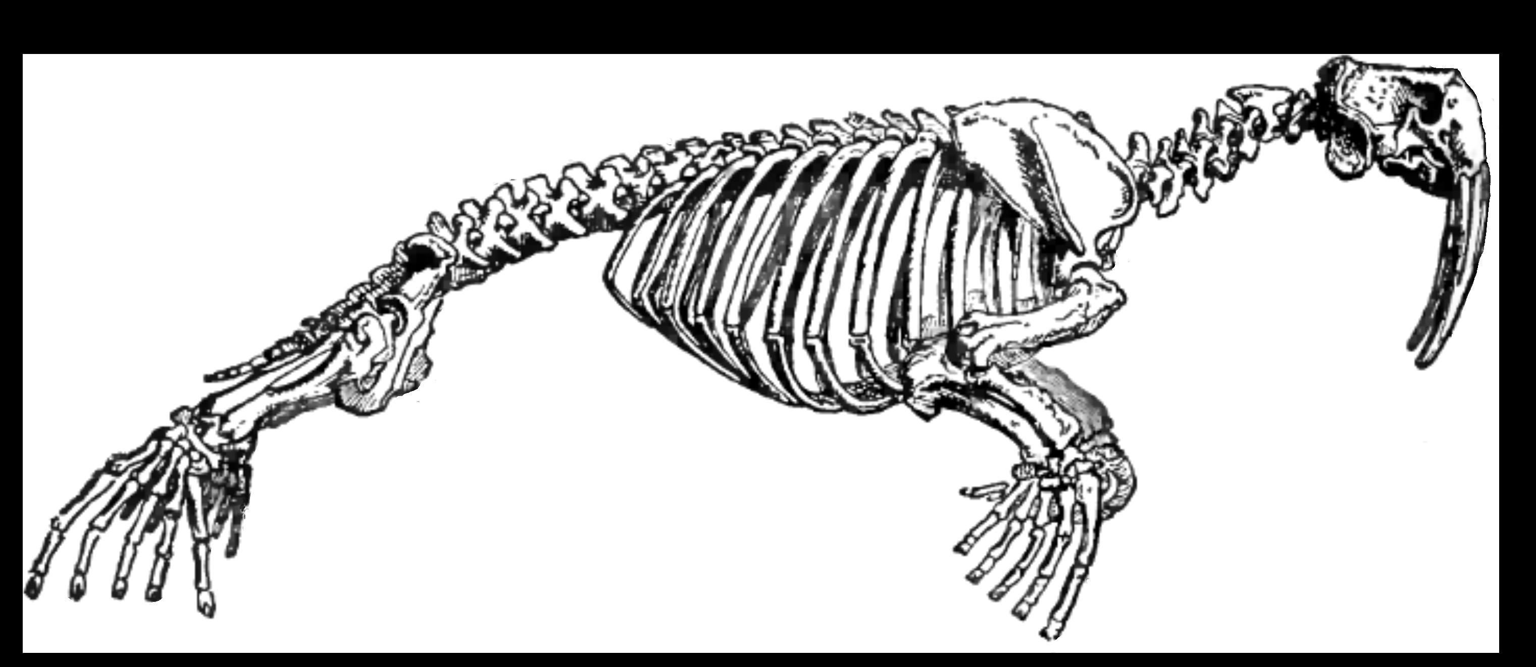 скелет моржа