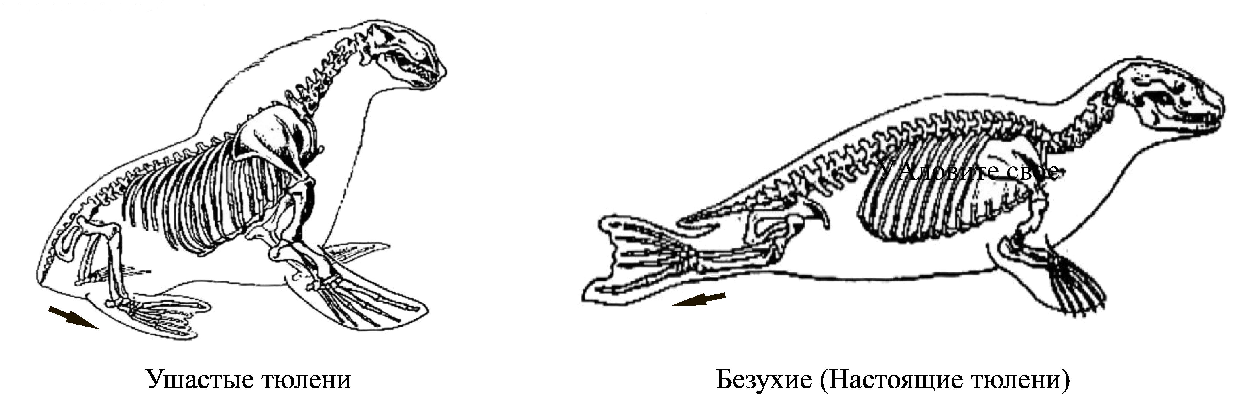 скелеты ушастых и настоящих тюленей