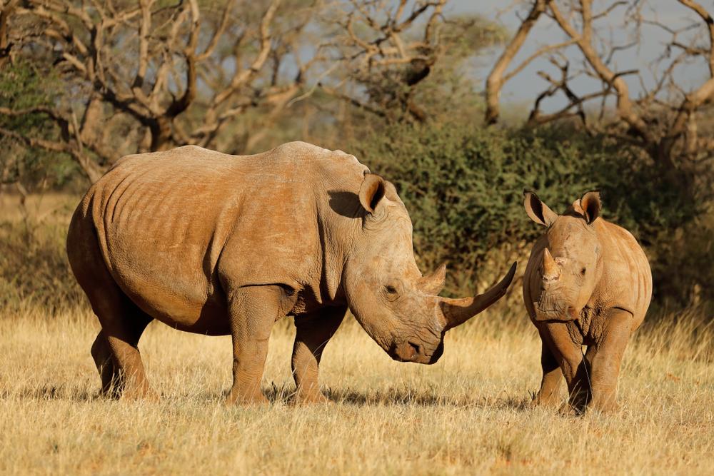 Семейство Носороговые