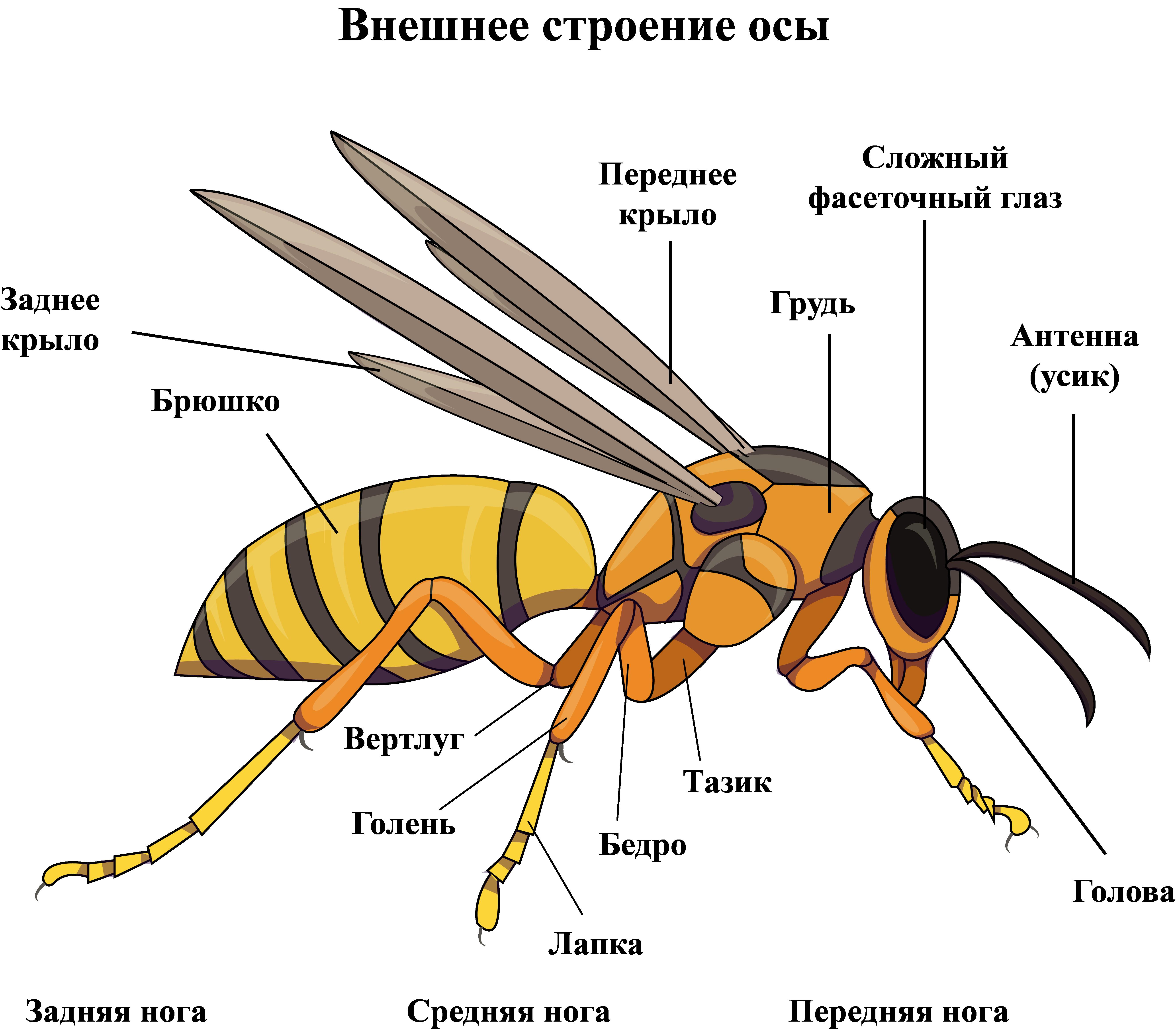 Внешнее строение осы