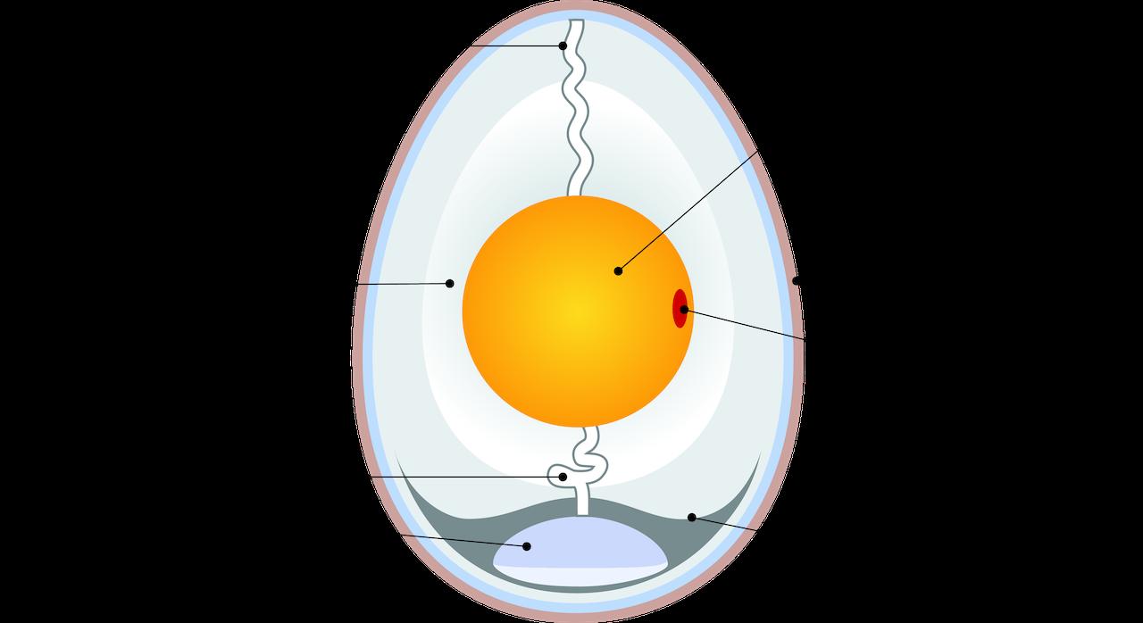 Строение птичьего яйца