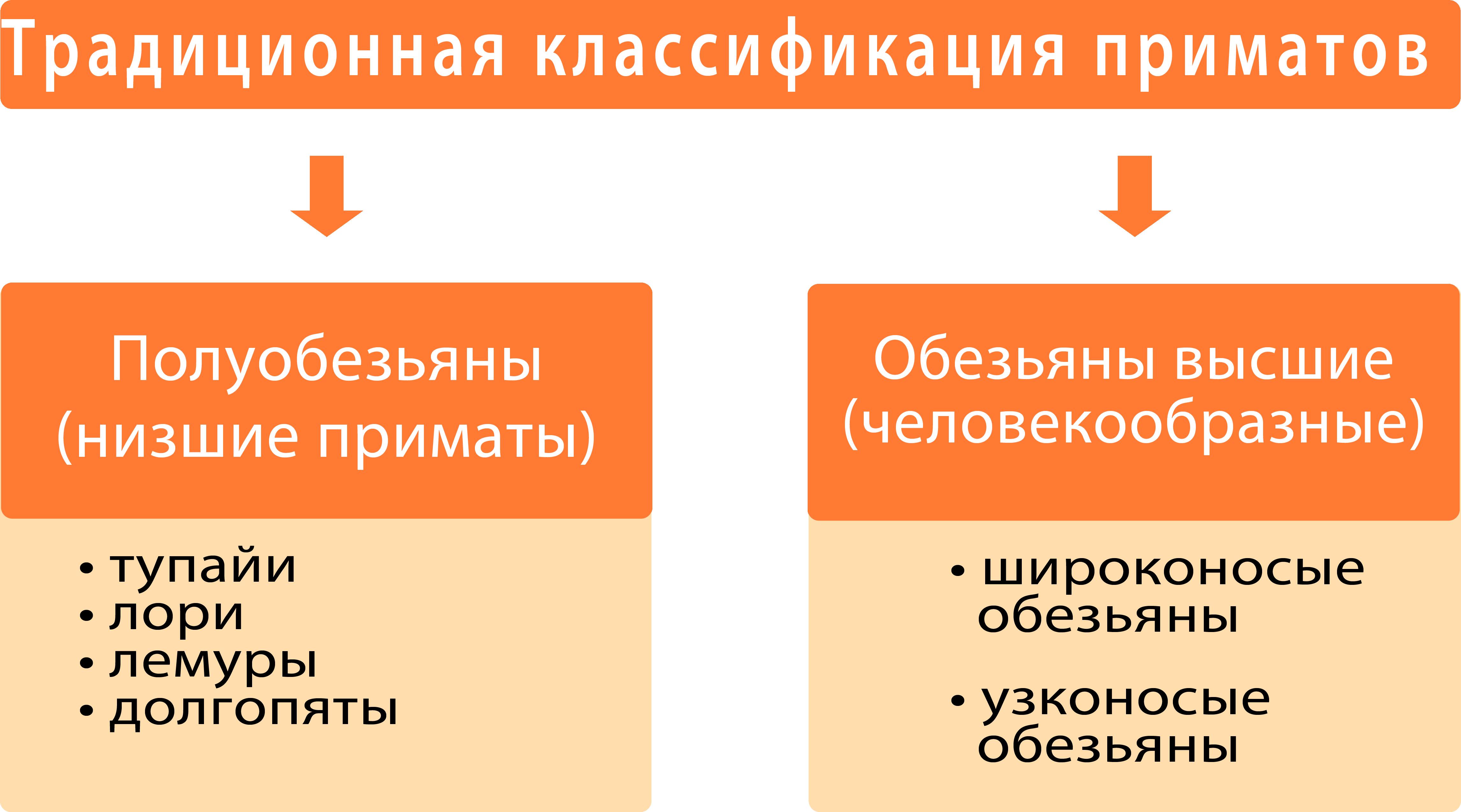 традиционная классификация приматов