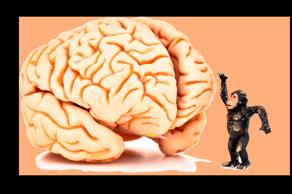 Мозг у обезьян