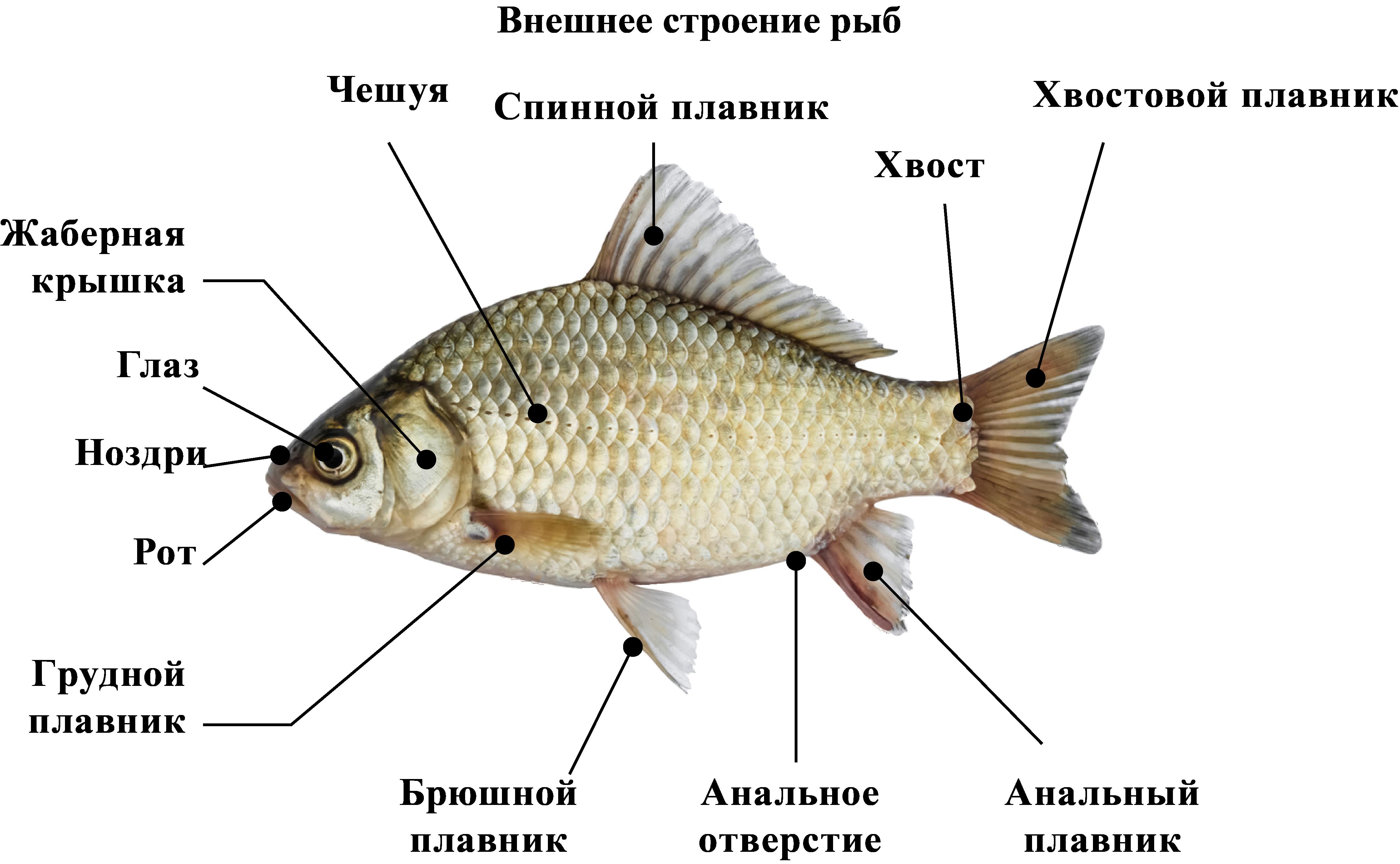 Внешнее строение рыб