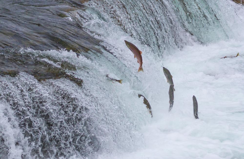 Во время нереста рыбы продвигаются к верховьям рек