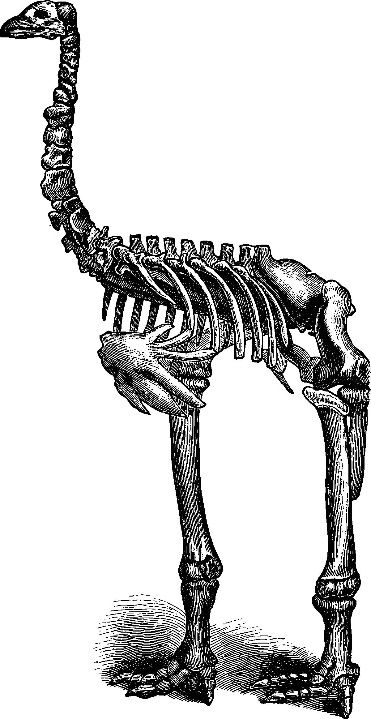 Скелет недавно вымершего новозеландского страуса моа