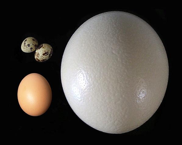 Яйцо страуса в сравнении с яйцом курицы