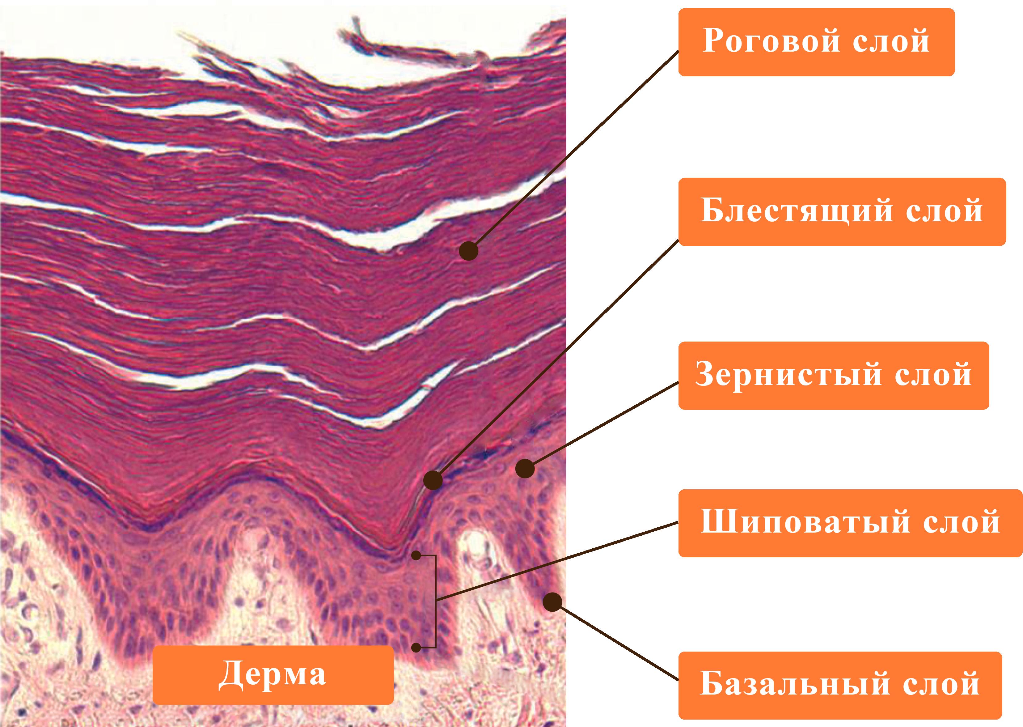 Многослойный эпителий кожи
