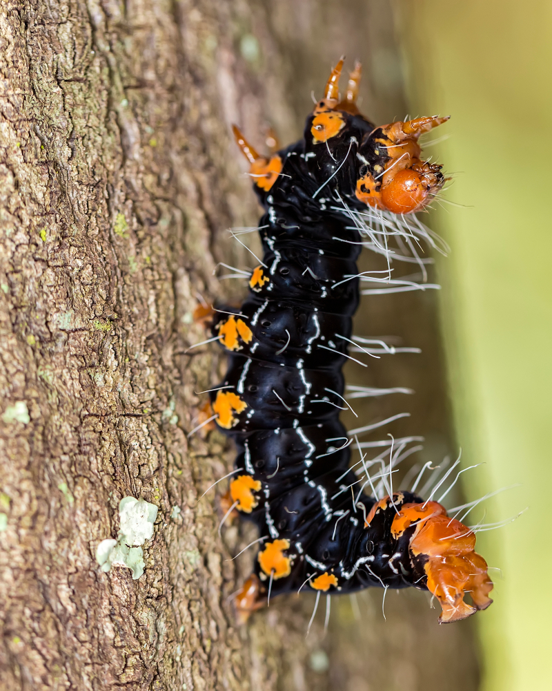 Личинки бабочек- гусеницы