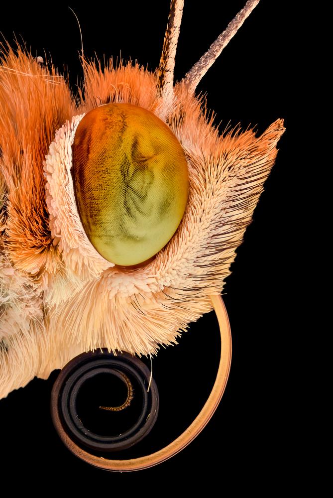голова бабочки