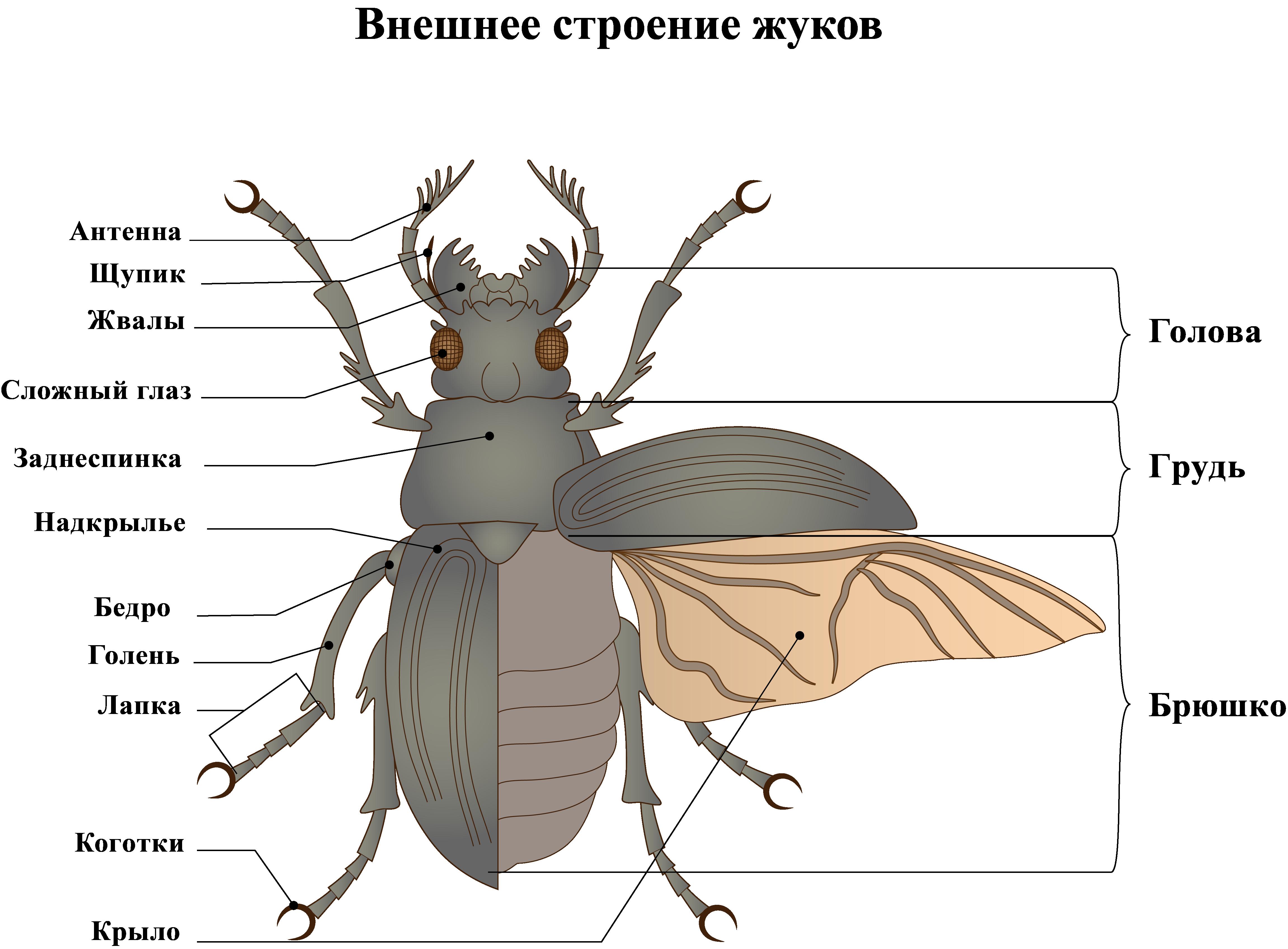 Внешнее строение жука