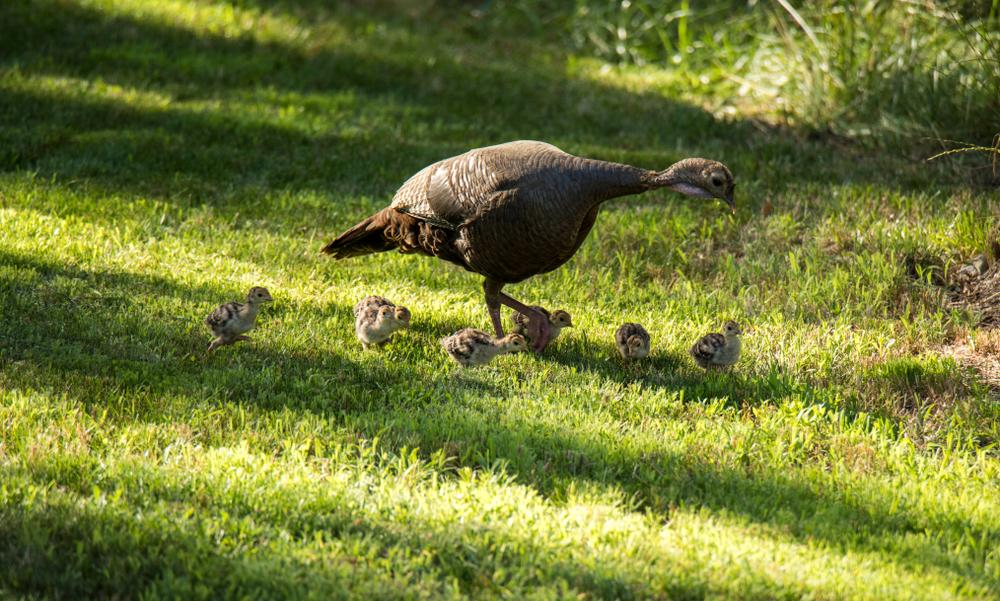 Выводок птенцов дикой индейки следует за самкой
