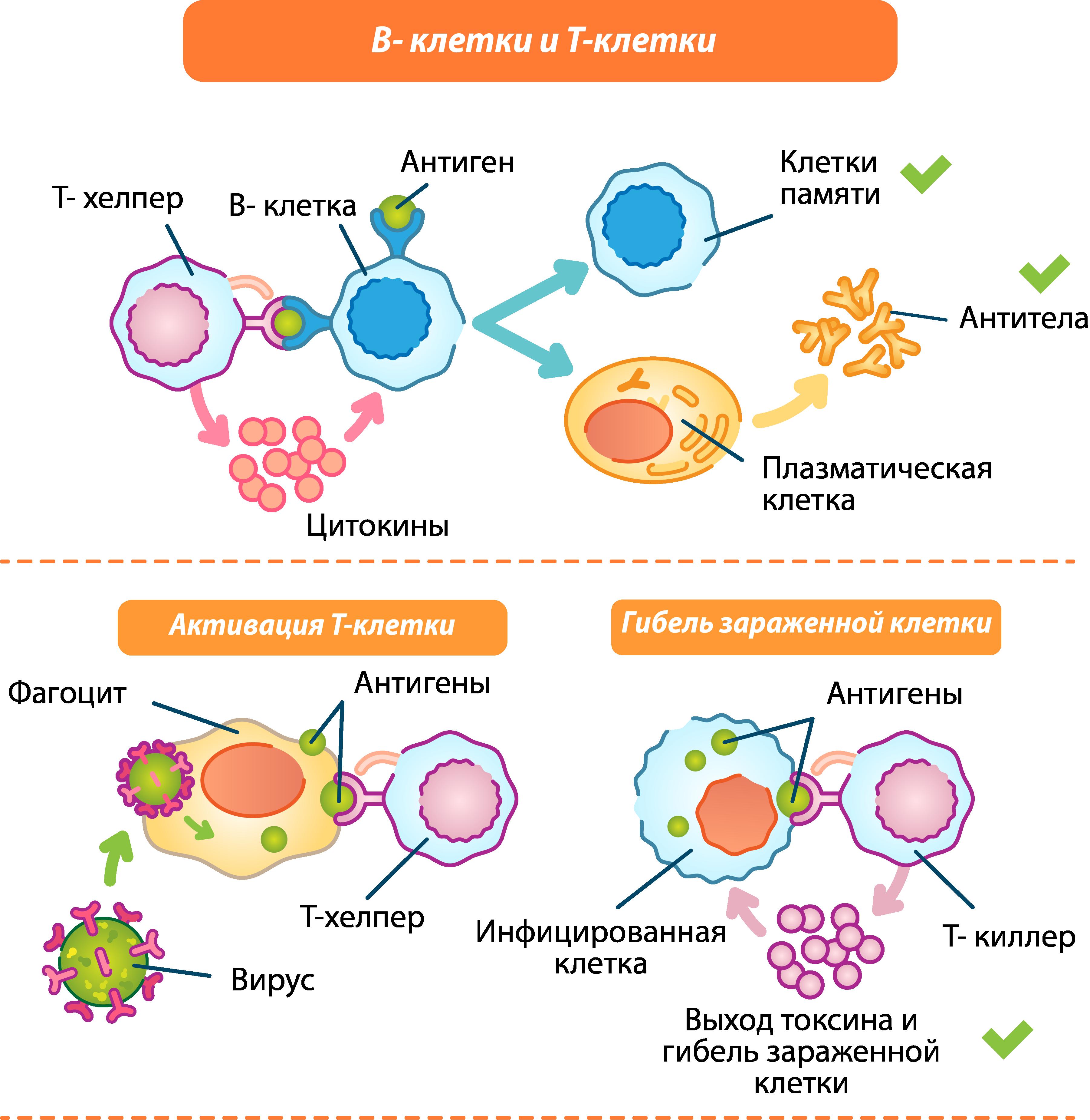 В-клетки и Т-клетки