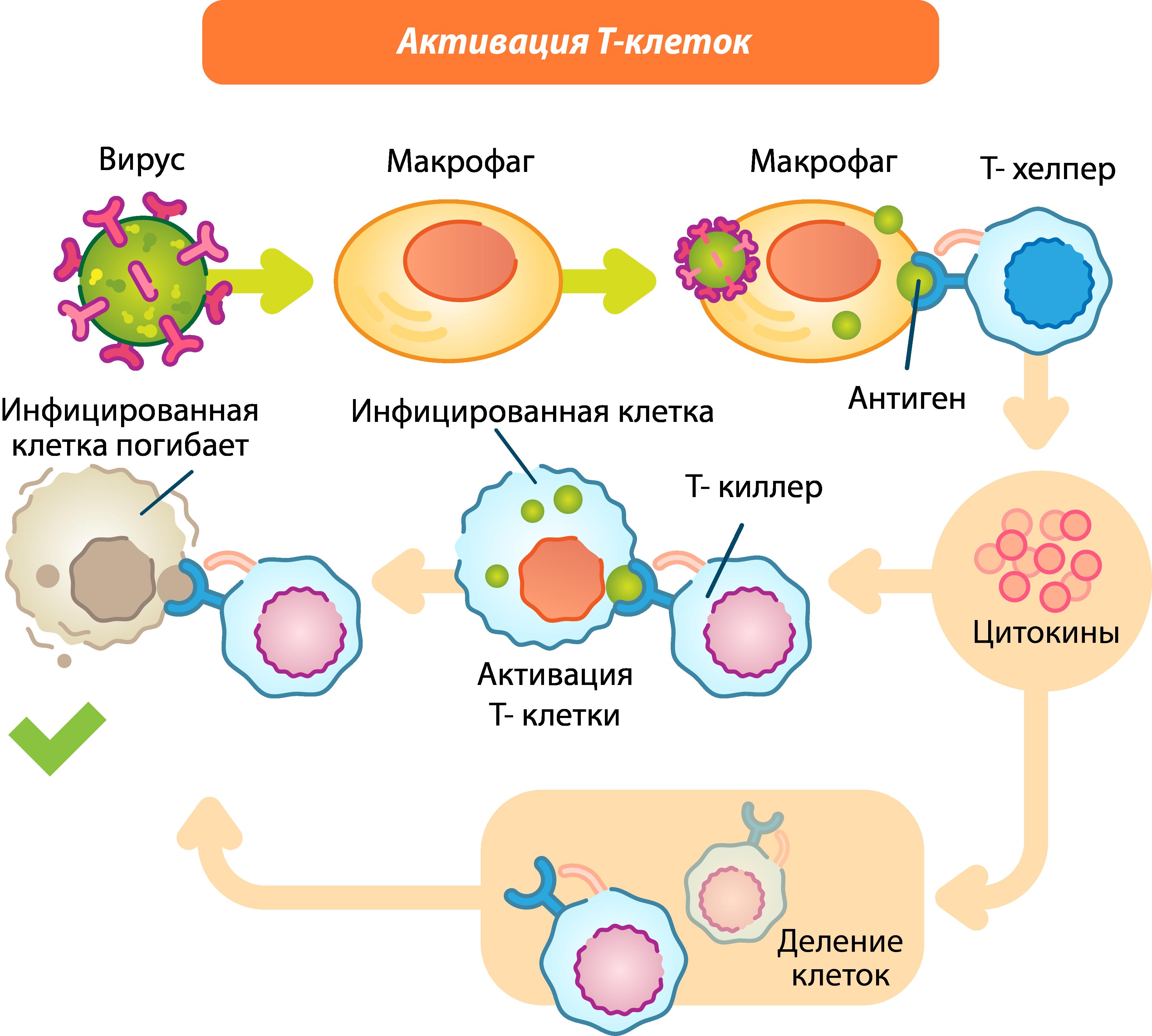 Активация Т-клеток