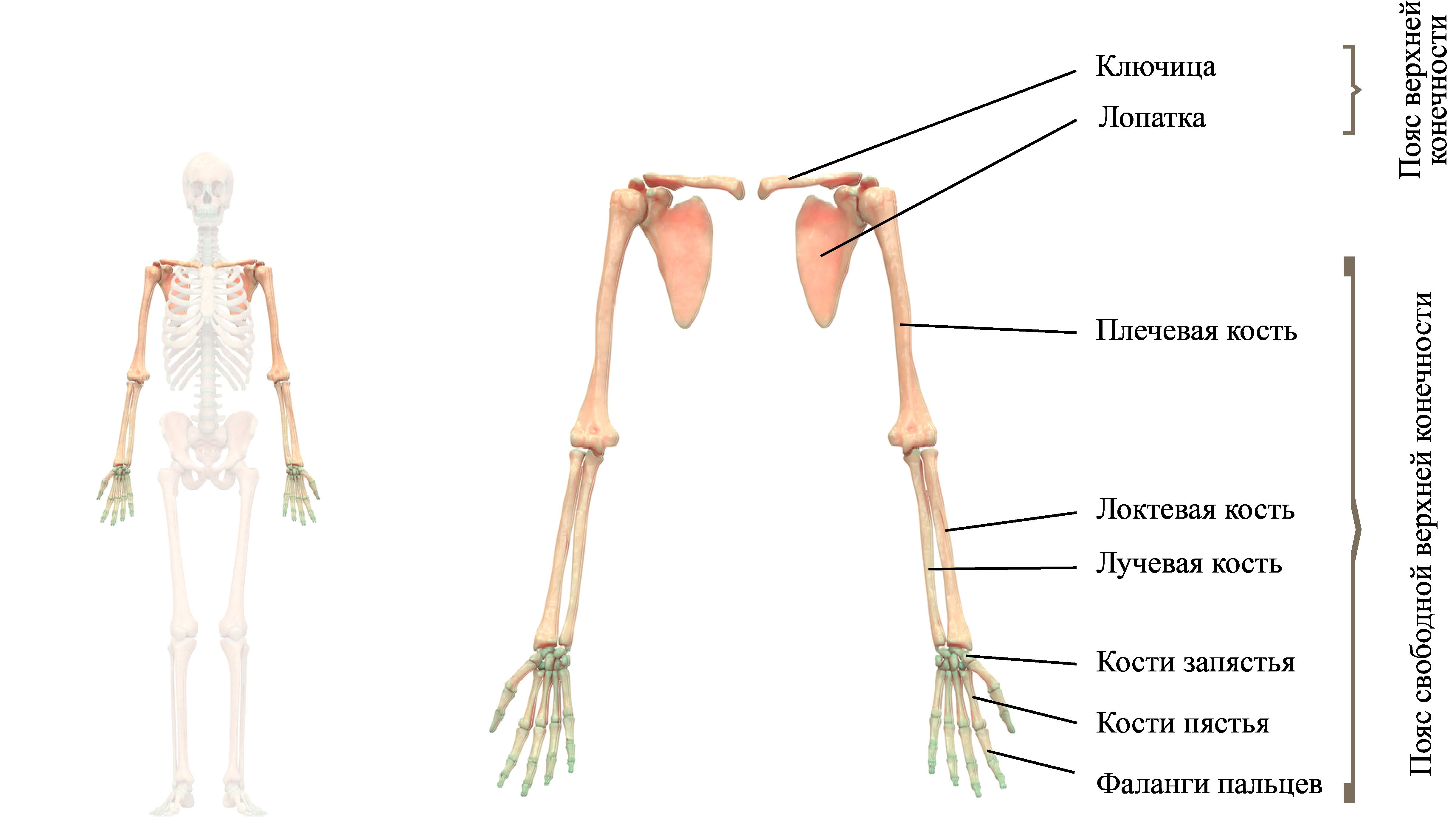Скелет конечностей