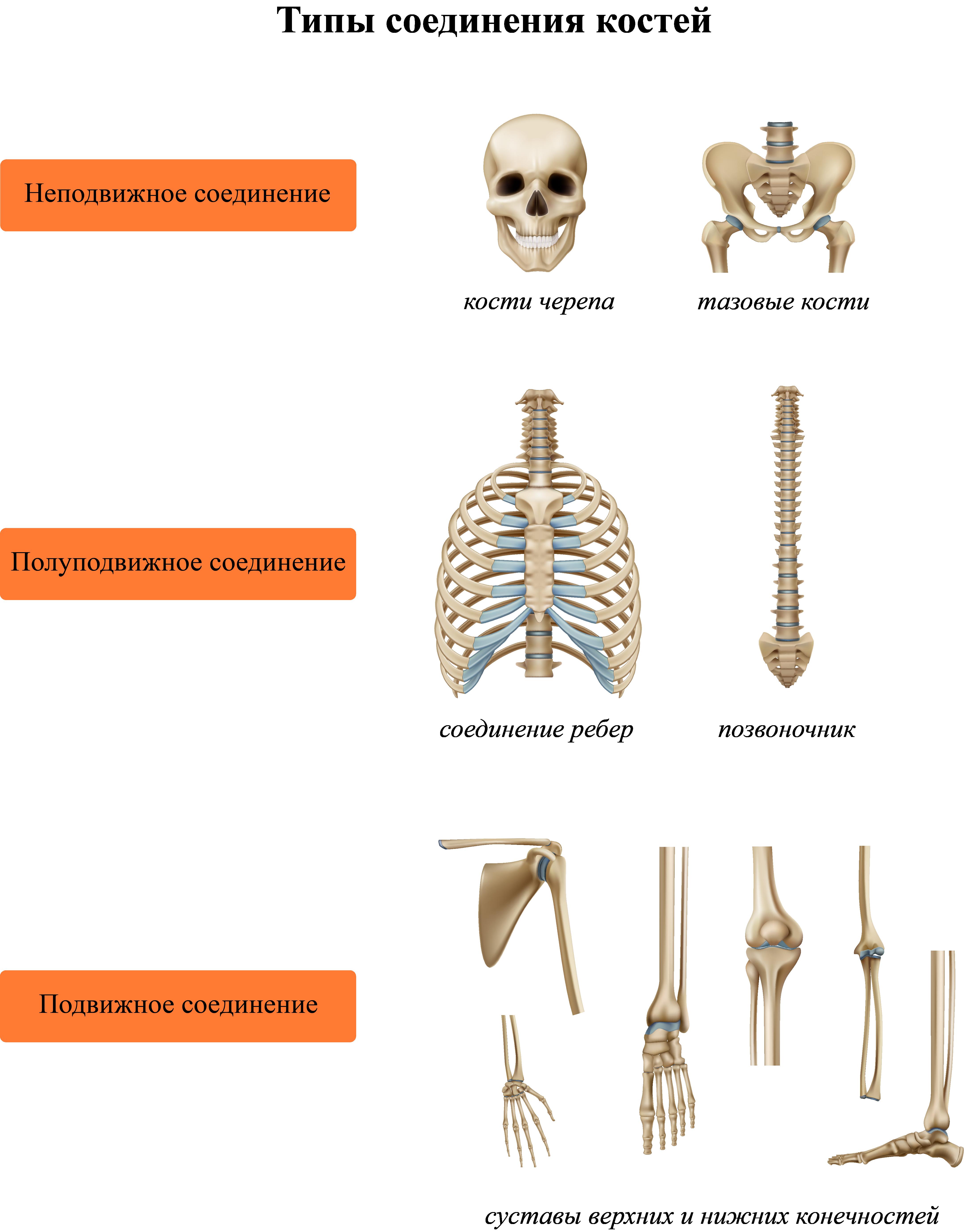 Типы соединения костей