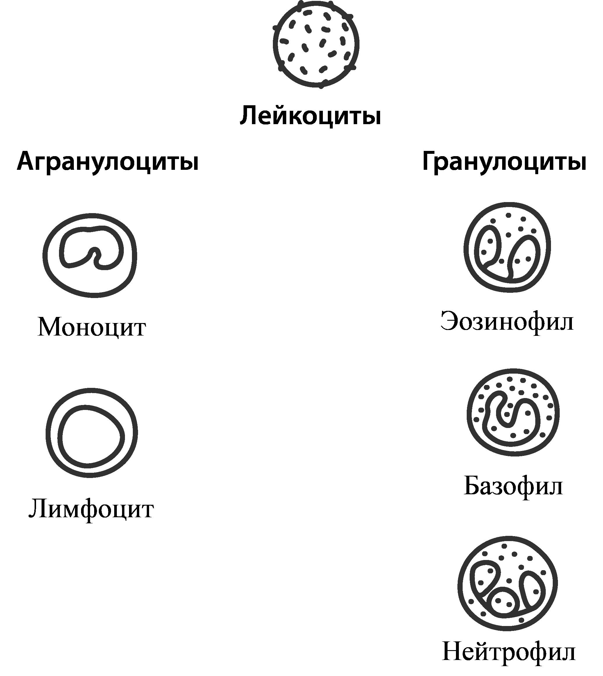 лейкоциты подразделяют на 2 группы
