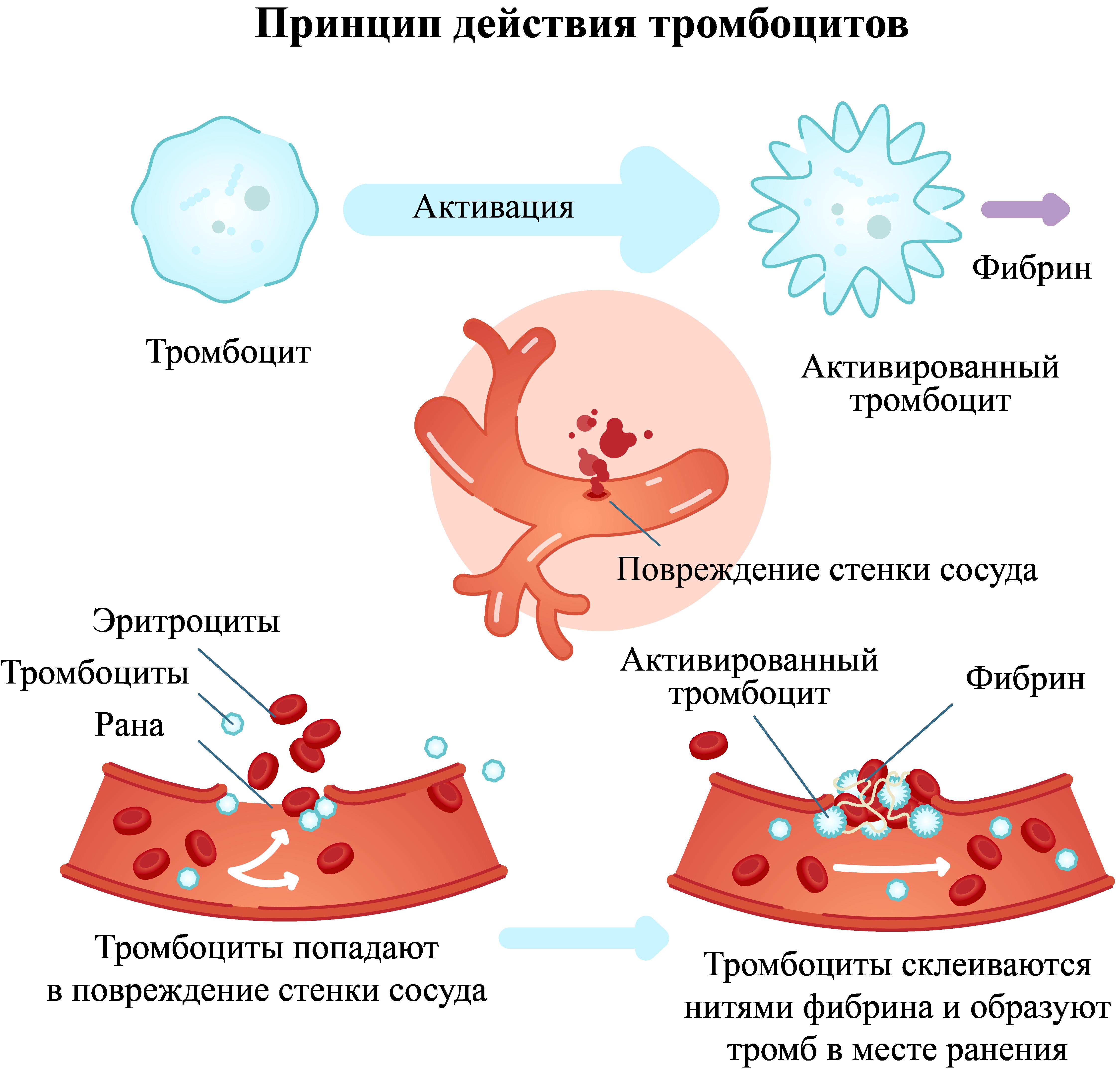 Принцип действия тромбоцитов