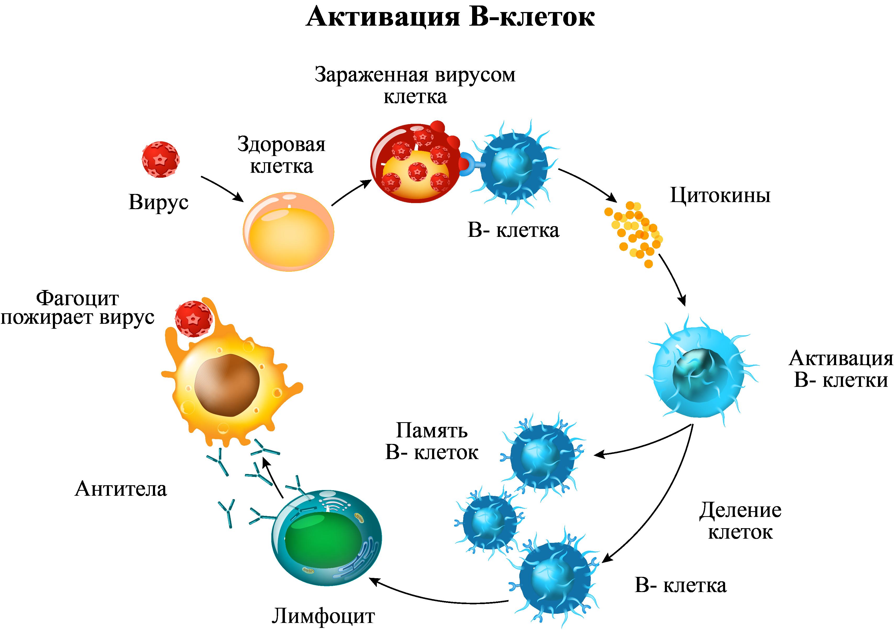 Активация В-клеток