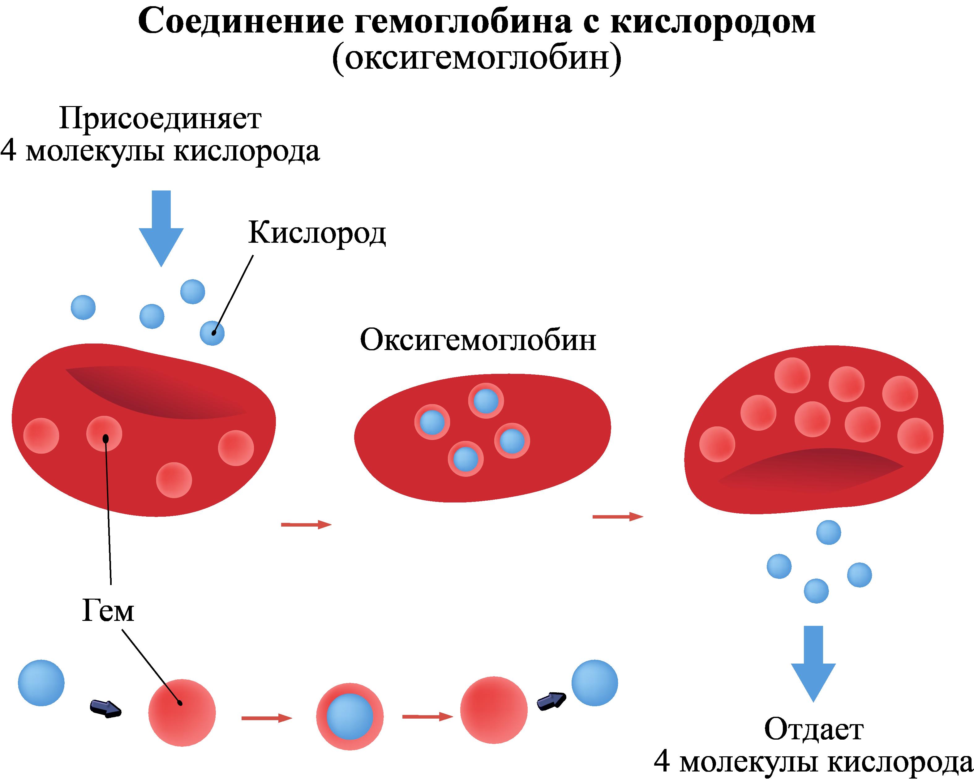 Соединение гемоглобина с кислородом