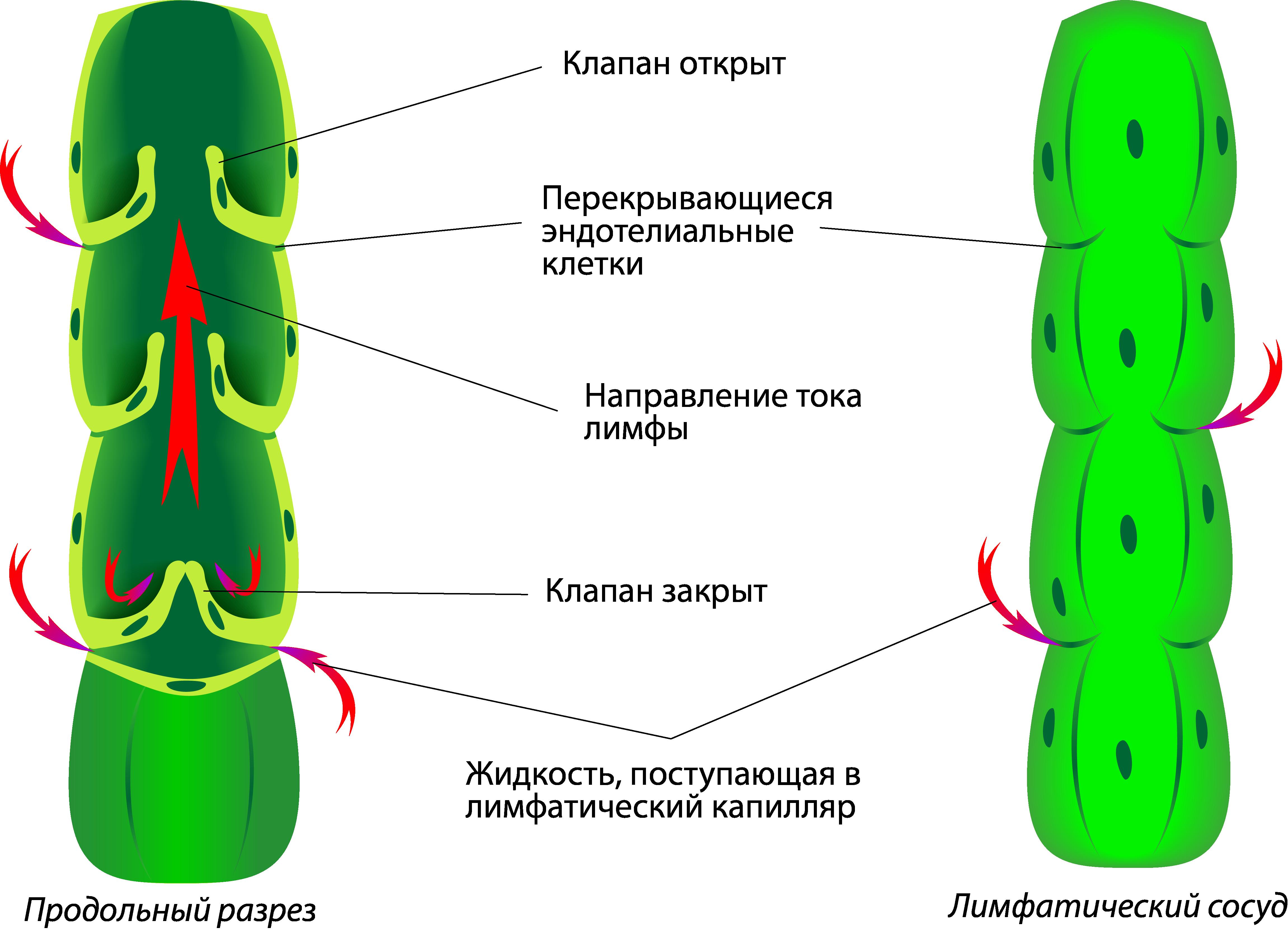 сосуды лимфатической системы