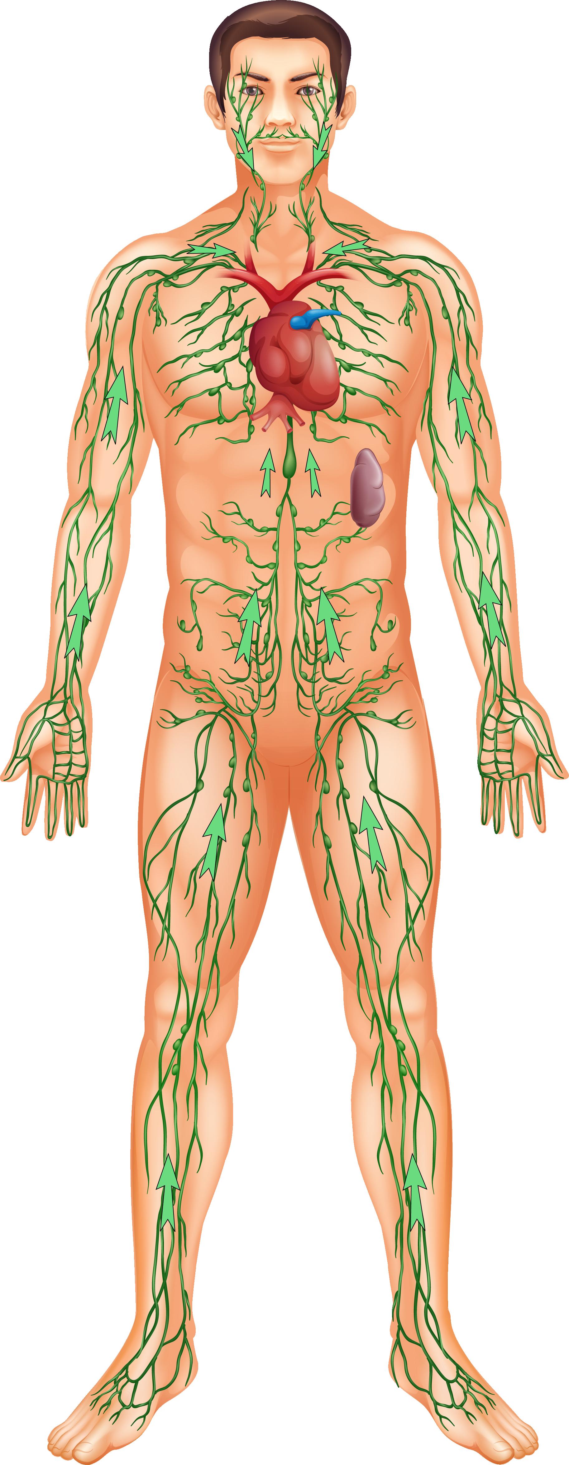 Движение жидкости идет через лимфатические узлы