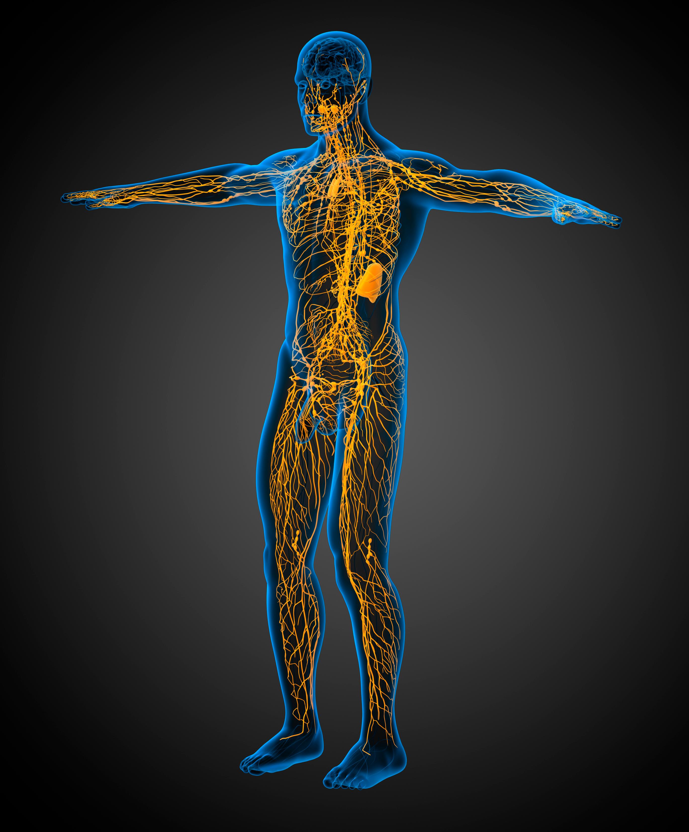 лимфатическая система очень напоминает кровеносную