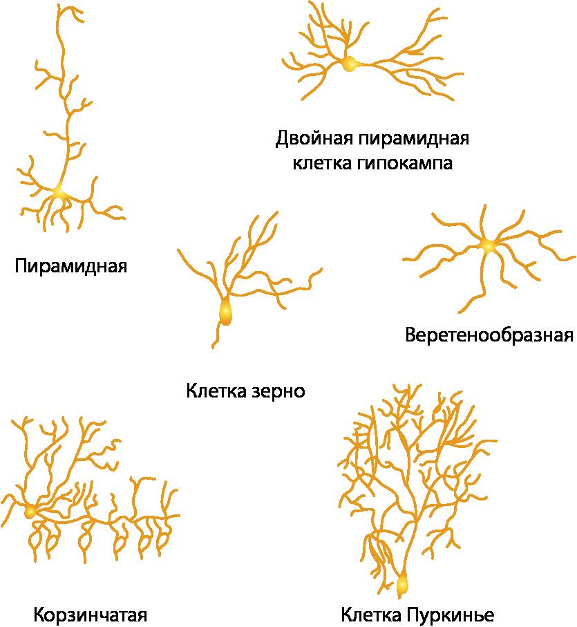 По форме тела нейроны бывают