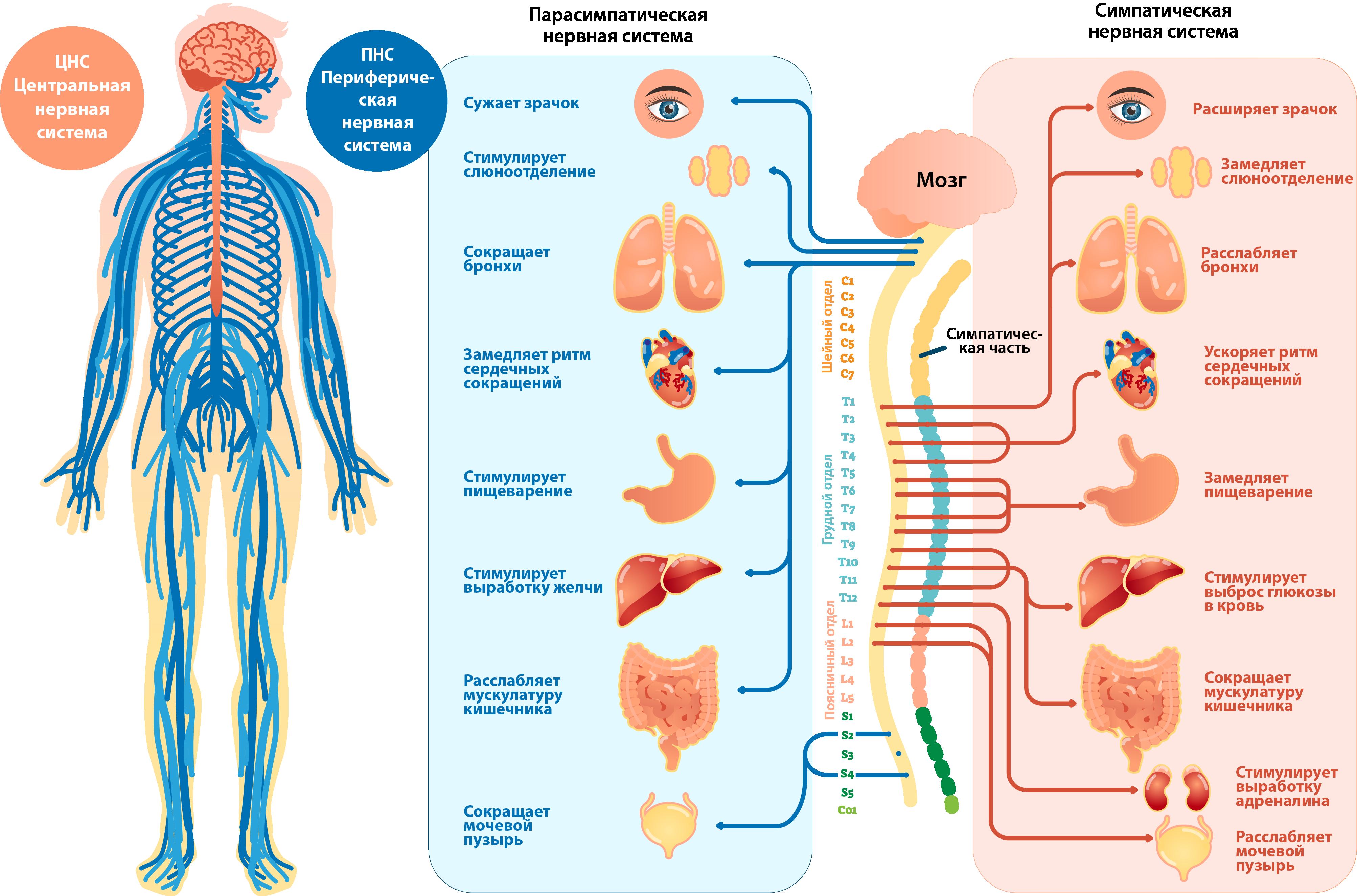 Симпатический и парасимпатический отдел вегетативной нервной системы