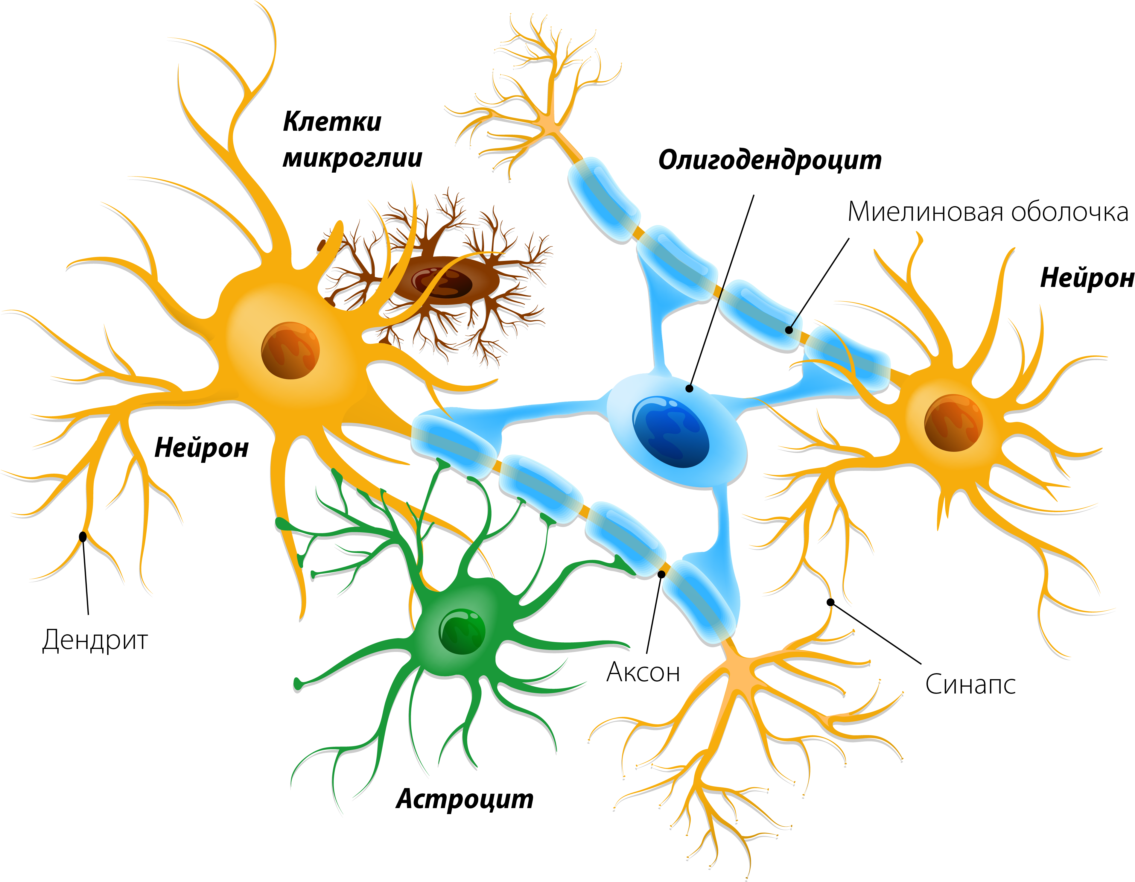 Глиальные клетки и нейроны