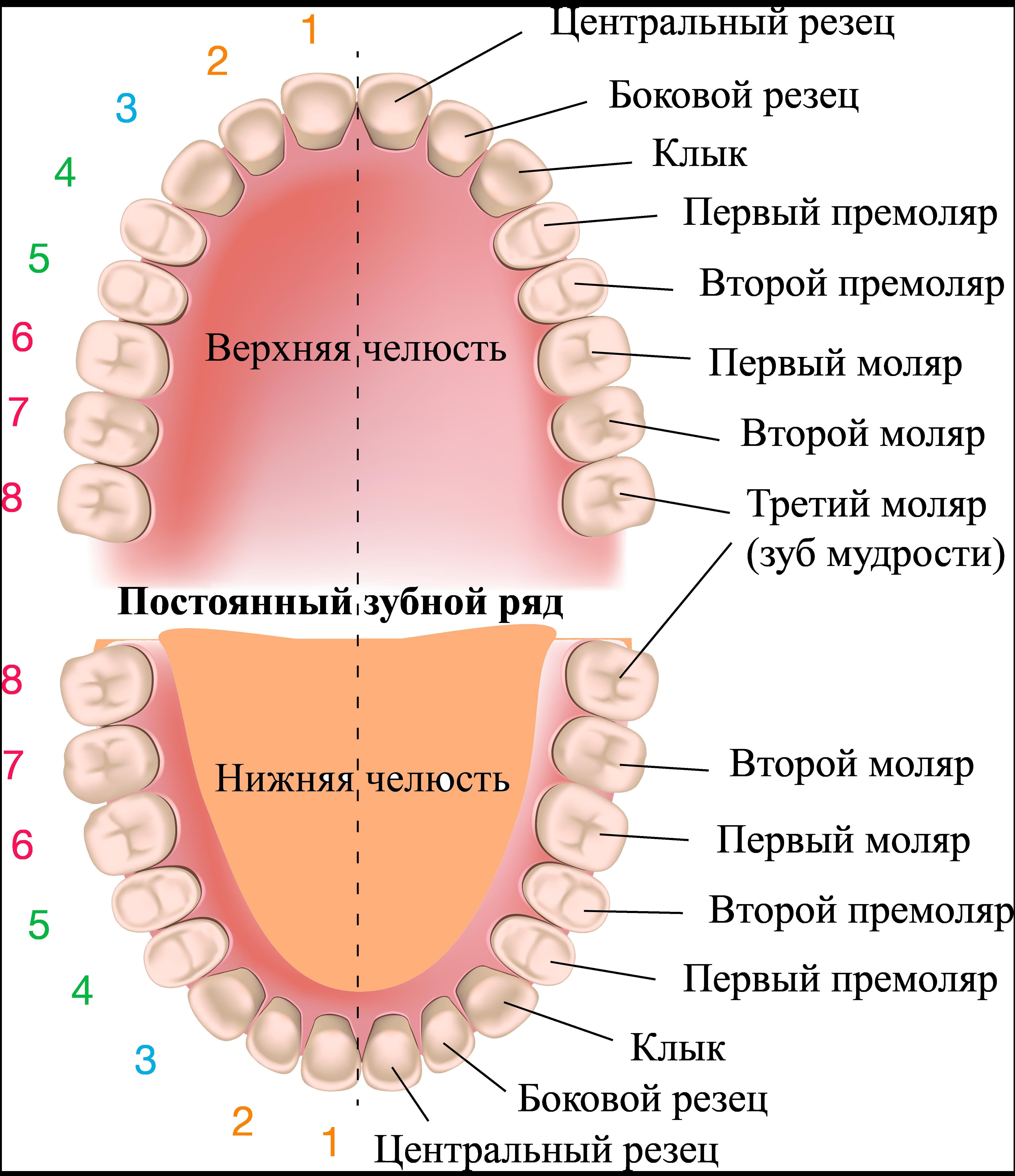 Зубы ротовой полости