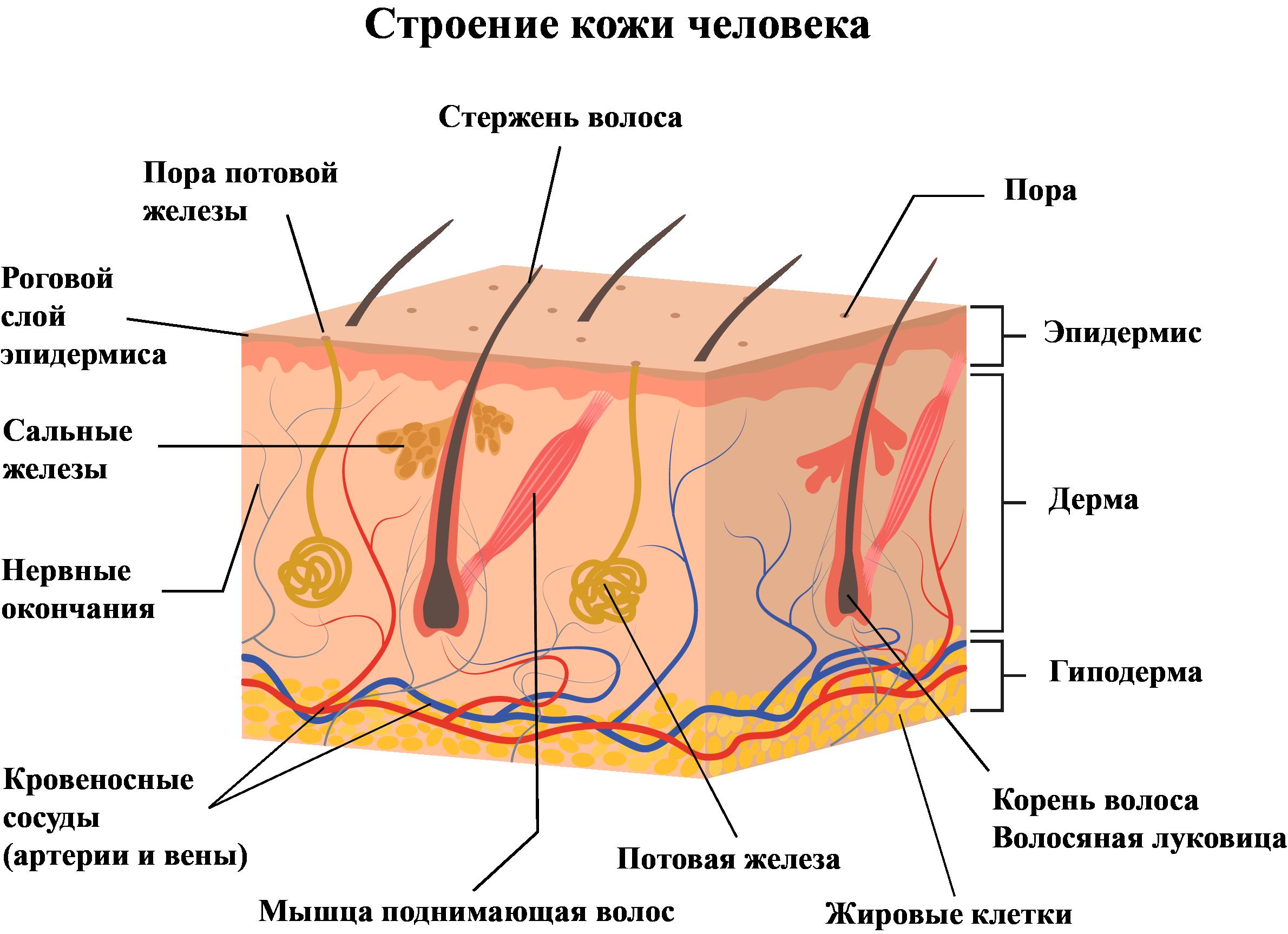сложное строение нашей кожи